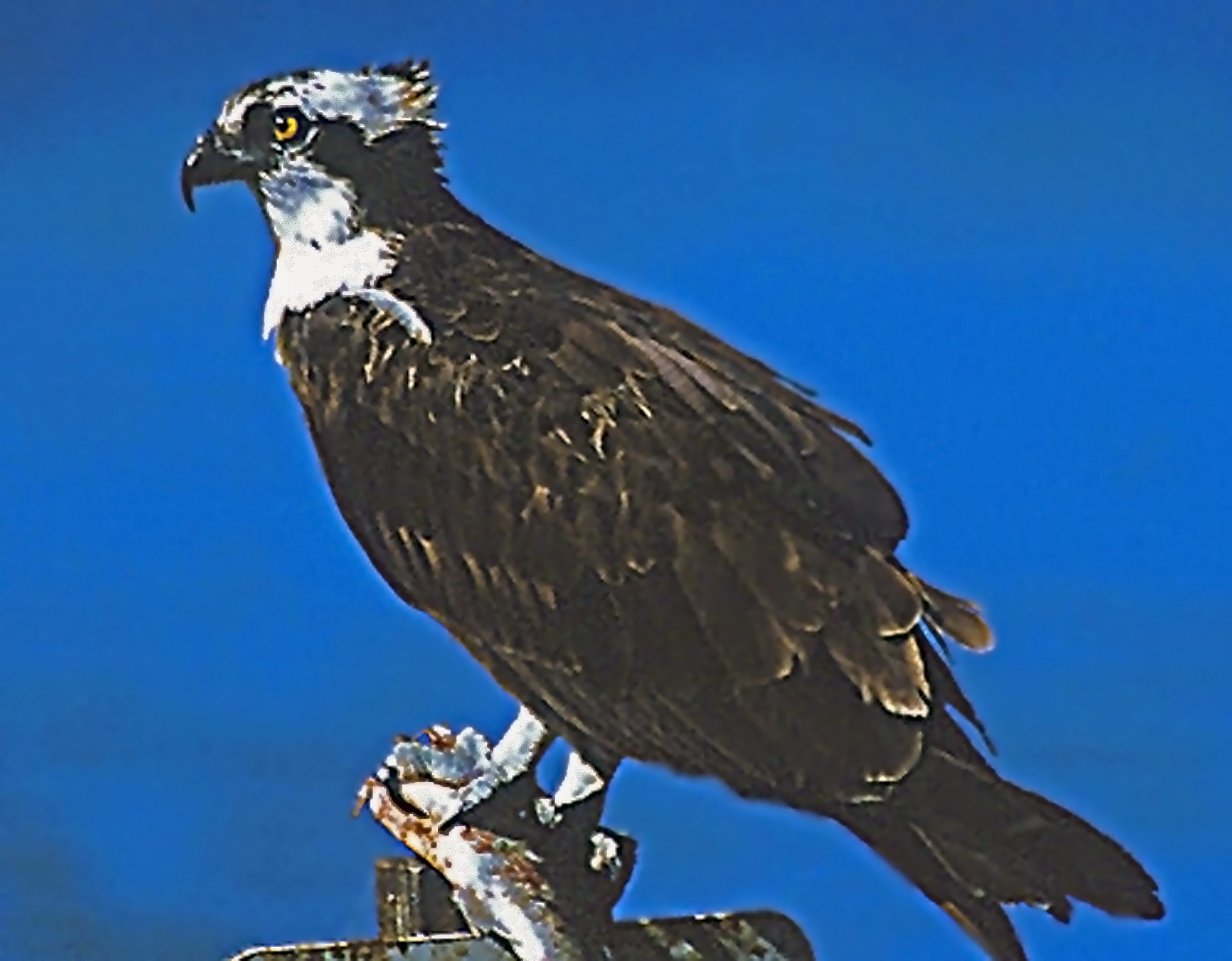 File:Osprey, adult.jpg - Wikimedia Commons