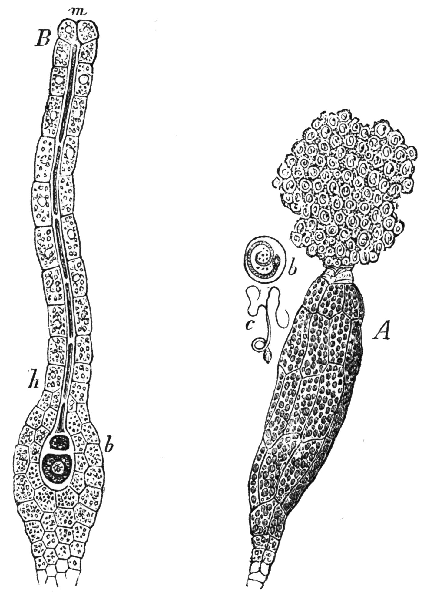 reproductive organs of funaria hygrometrica.jpg Magnified reproductive organs of funaria hygrometrica Date 1884 Source Popular Science Monthly Volume