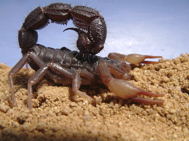 Risk Assessment Scorpions Ability To Moderate Venom Spraying