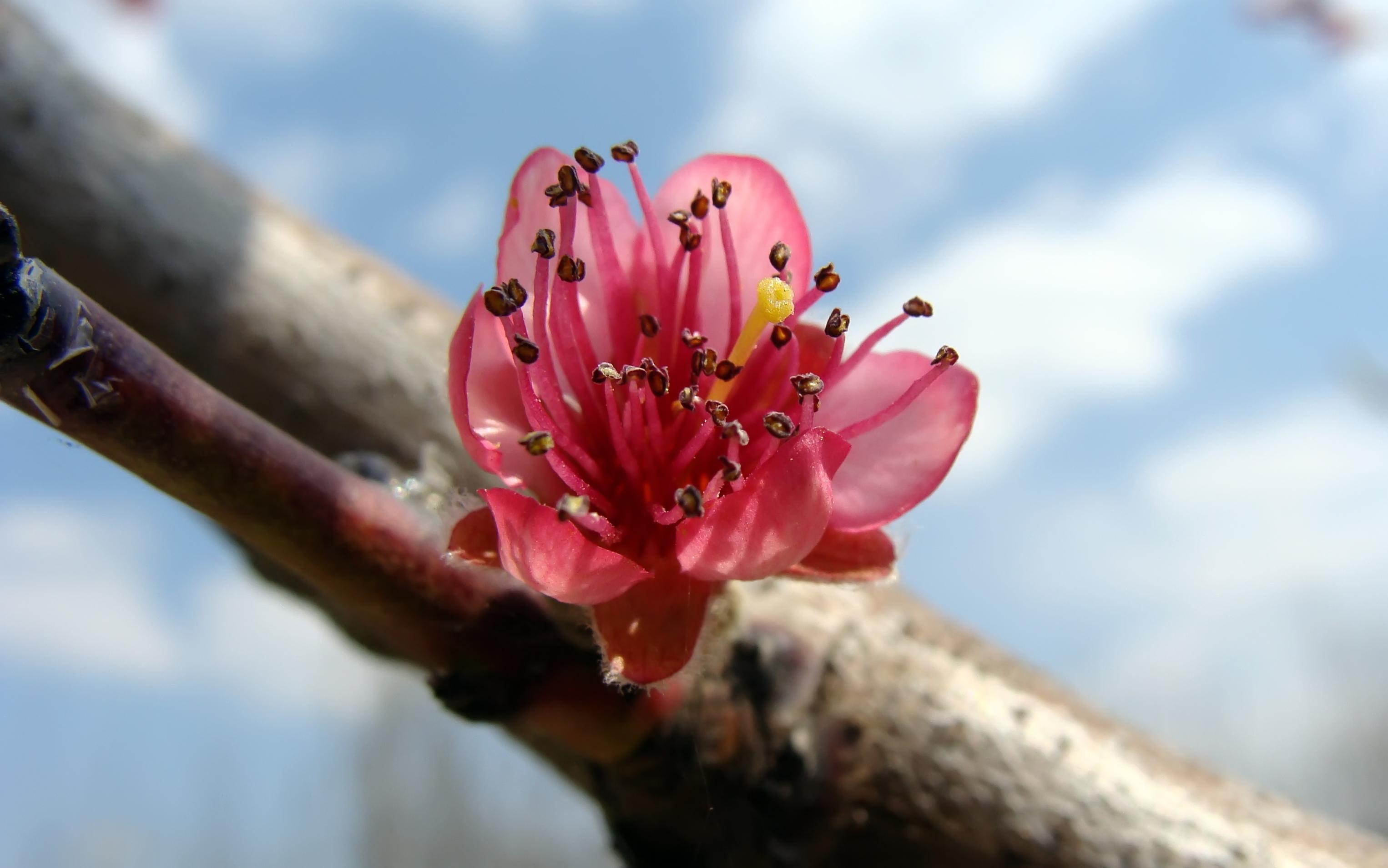 Peach blossom, buona serata e buona primavera a tutti dans fiori e piante