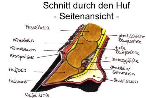 Kronbein – Wikipedia