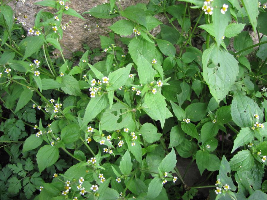File:Plante-comestible-à-identifier-1.jpg - Wikimedia Commons