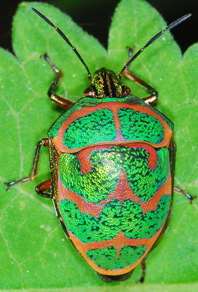 Poecilocoris lewisi - Wikipedia