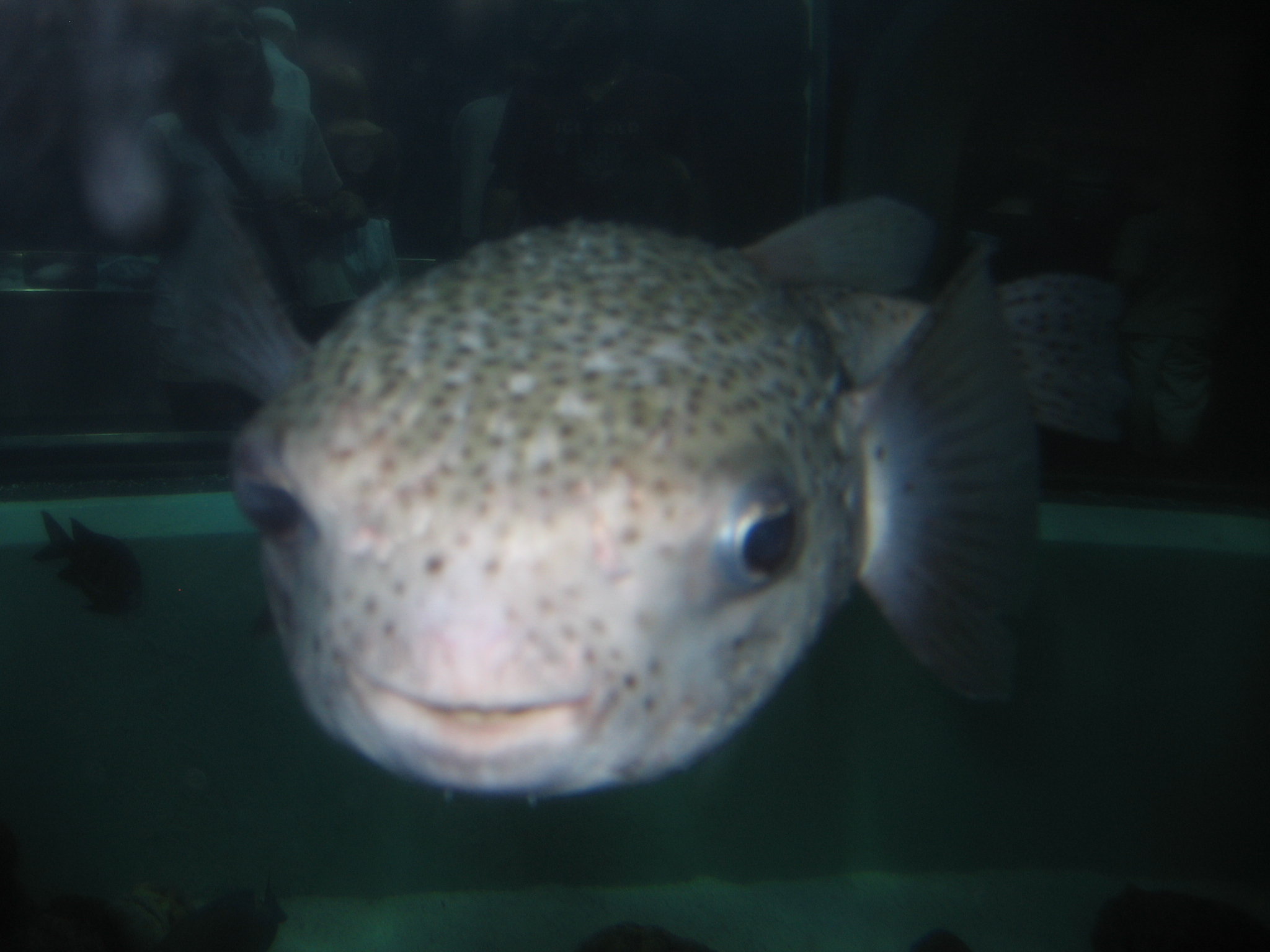 File puffer fish aquarium of the for Puffer fish aquarium
