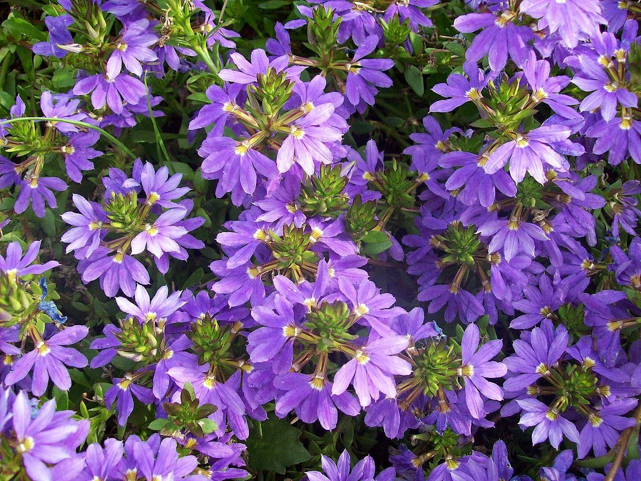 Scaevola aemula Botanical Garden Heidelberg.JPG