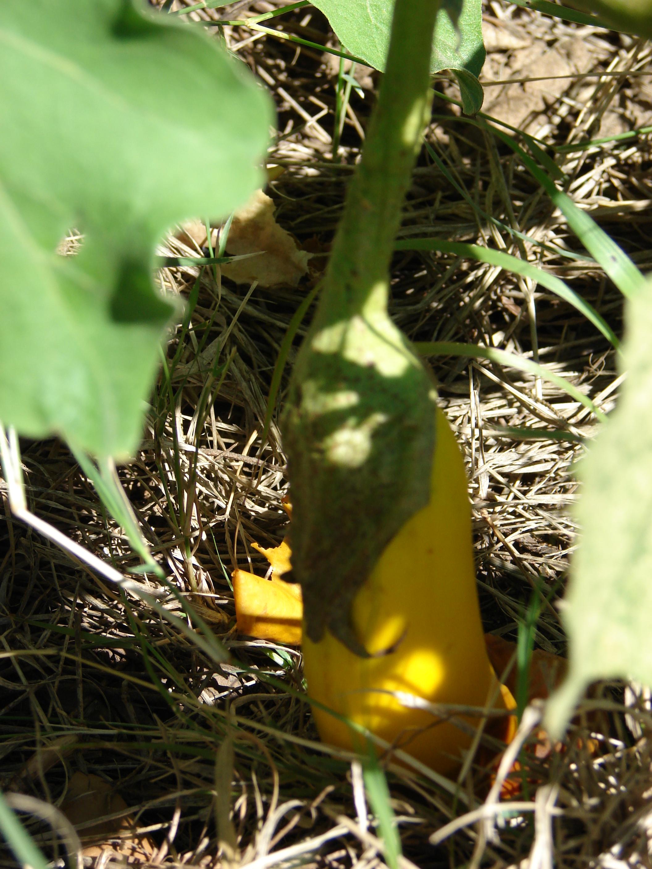 Starr 070207-4280 Solanum melongena.jpg
