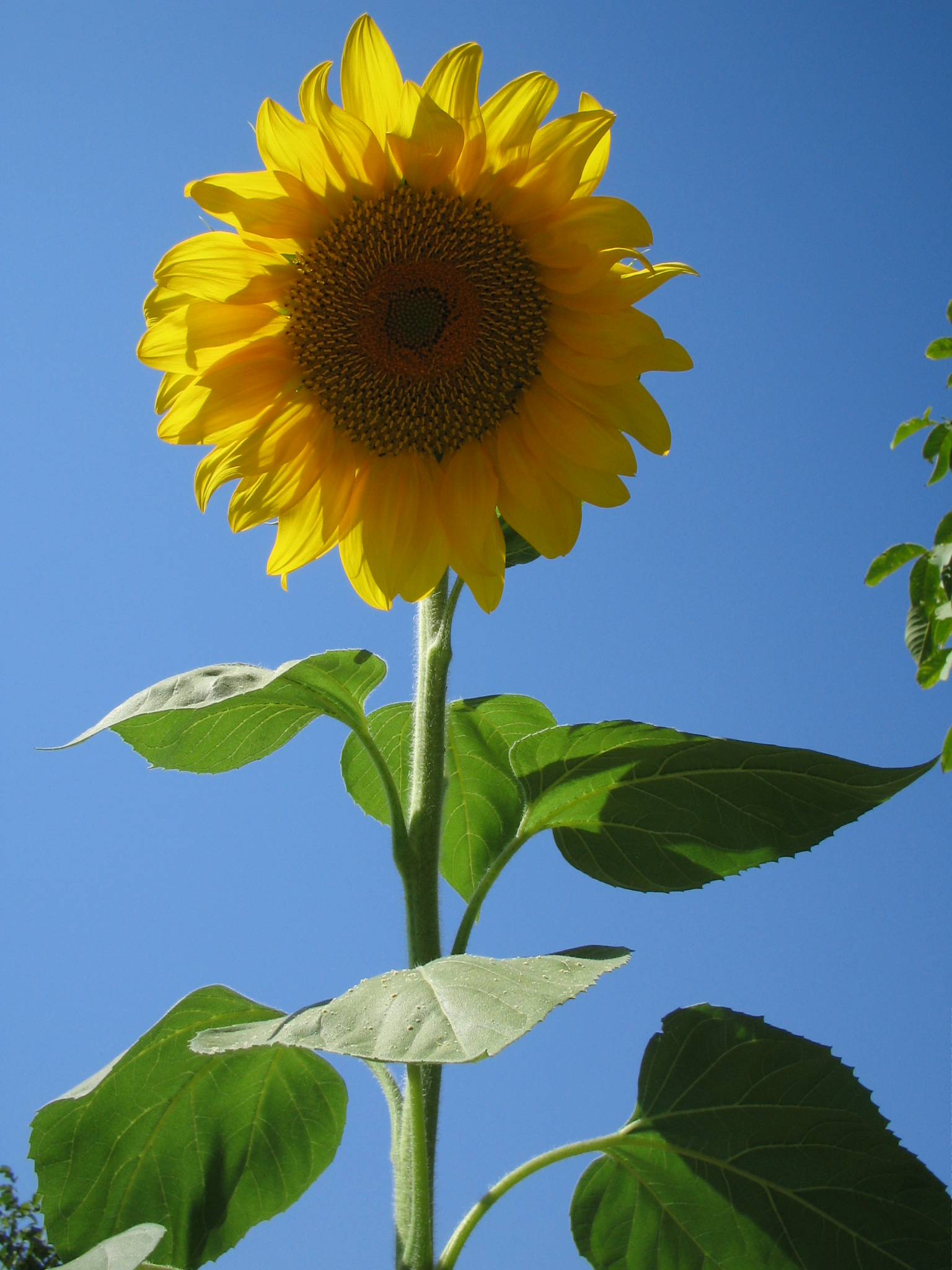 File Sunflower Taleghan Wikimedia mons