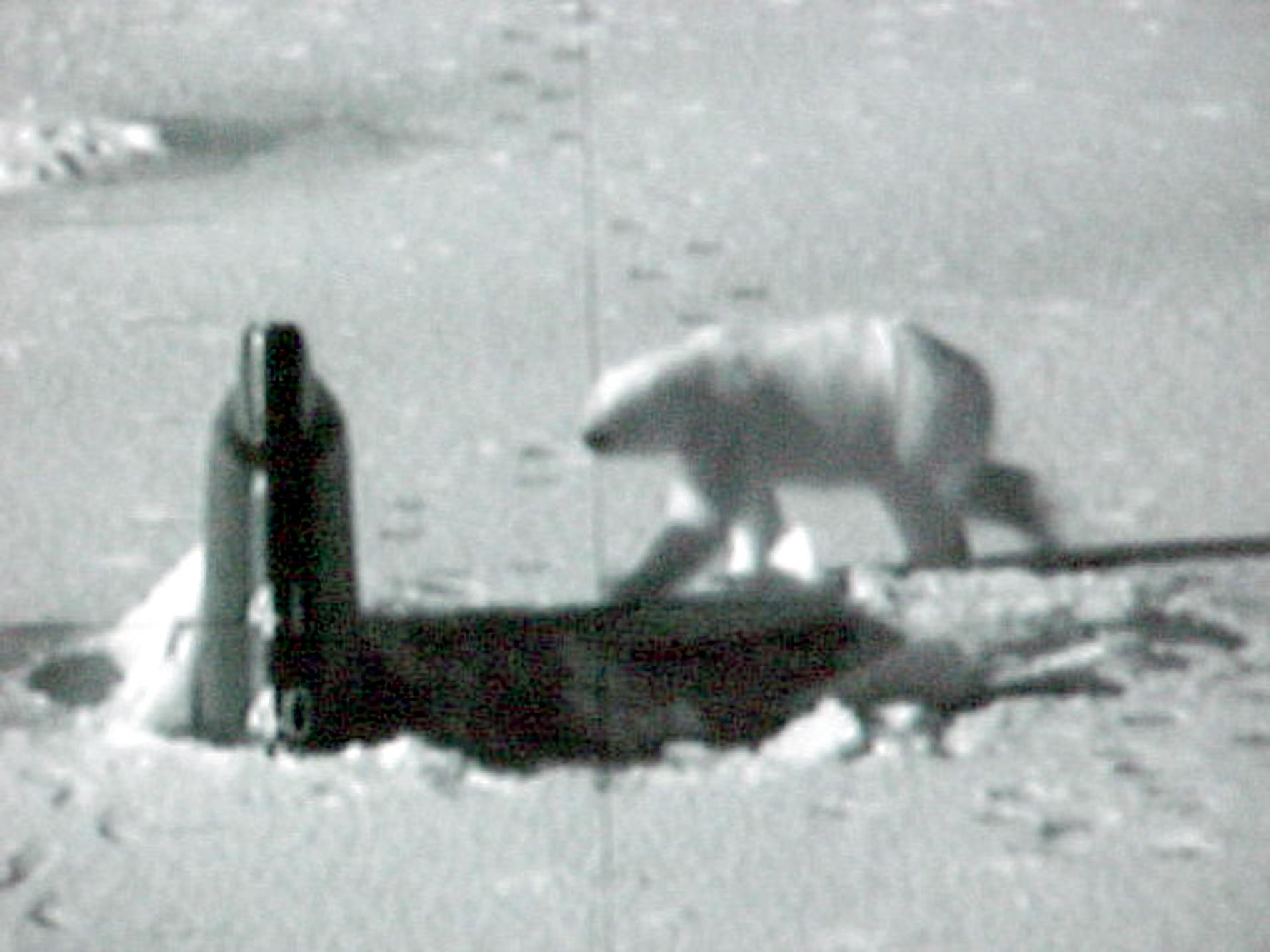 太逗了:北极熊把美国核潜艇当大鱼抱啃了半天 (图) - 纽约文摘 - 纽约文摘
