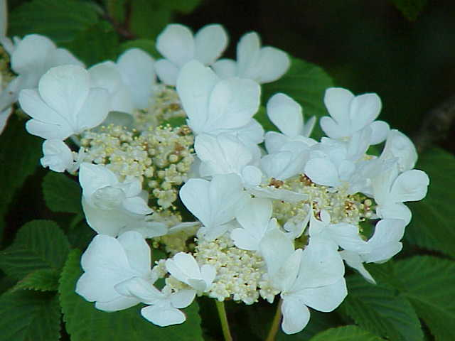 fleurs de la viorne de chine