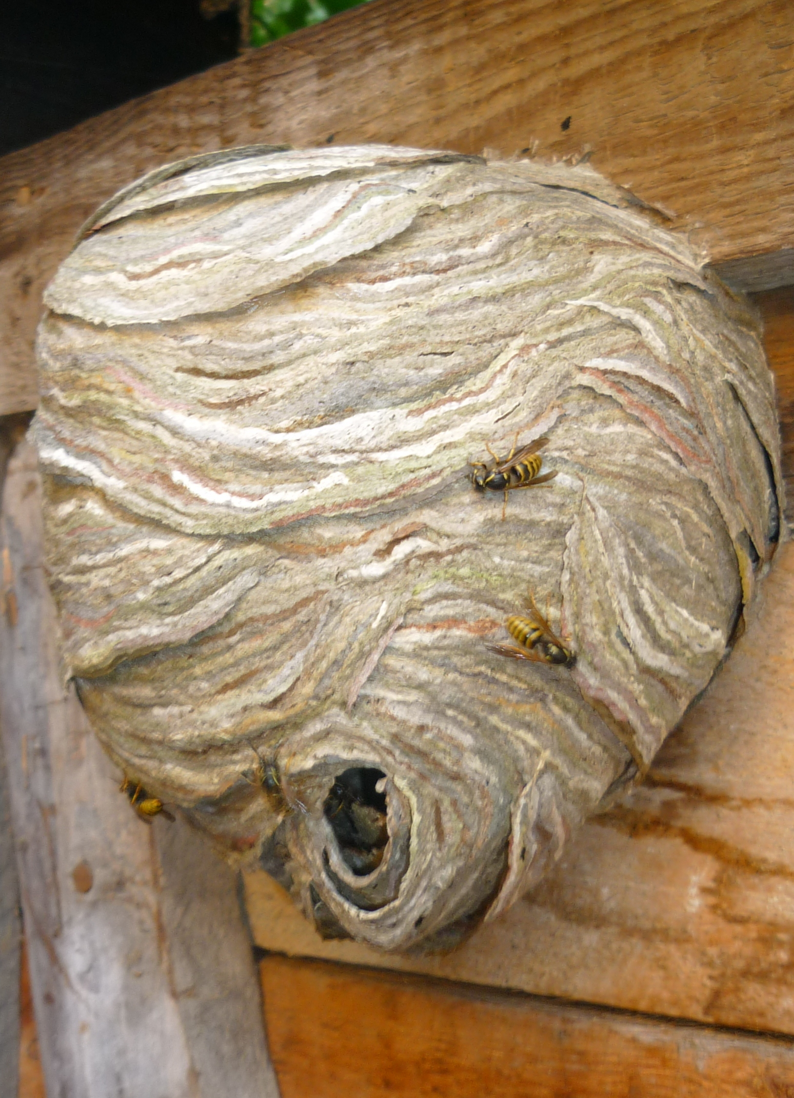 Wasp Nest and Wasp Sting Solutions - Networx