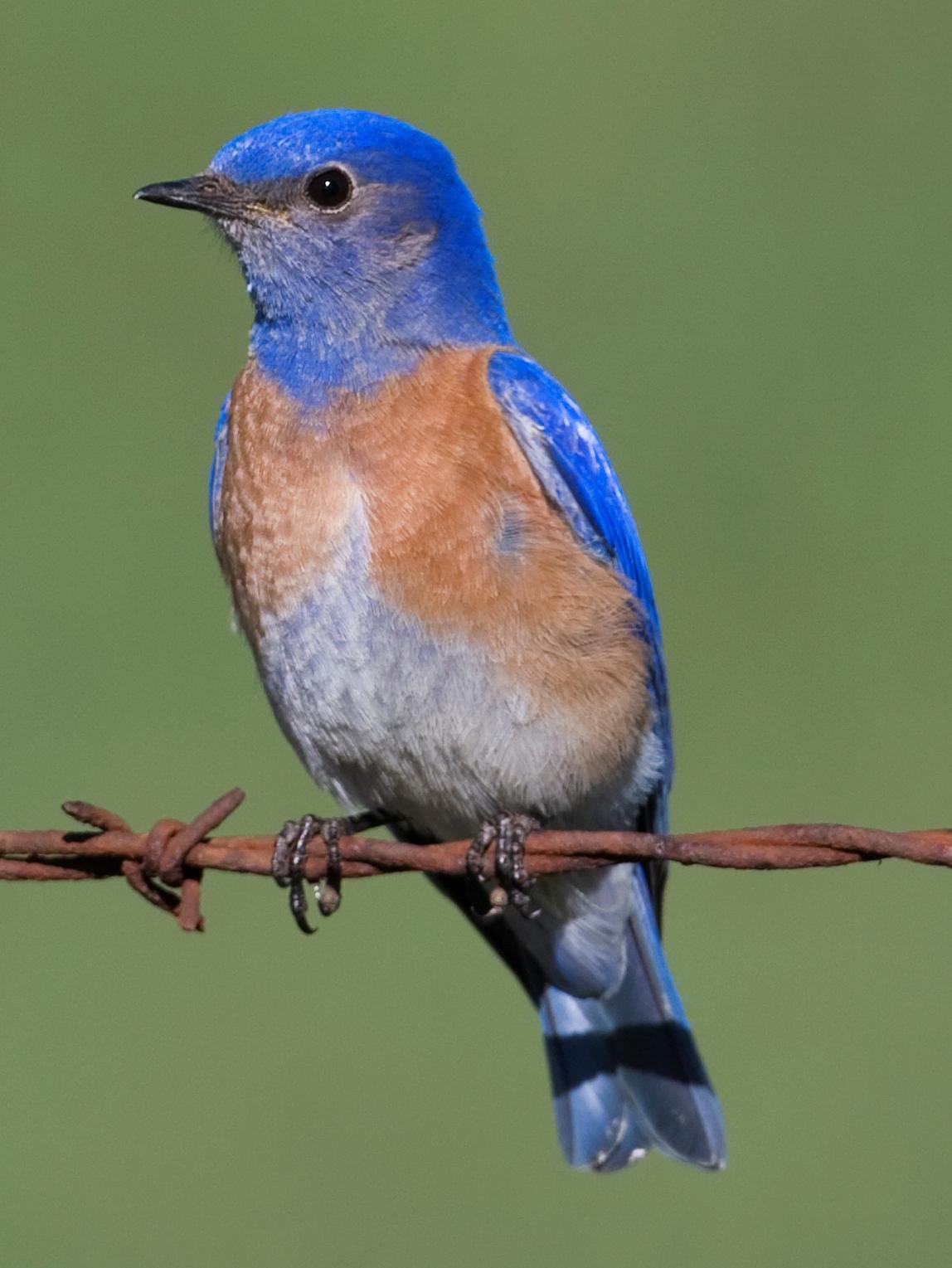 File Western Bluebird male Wikimedia mons