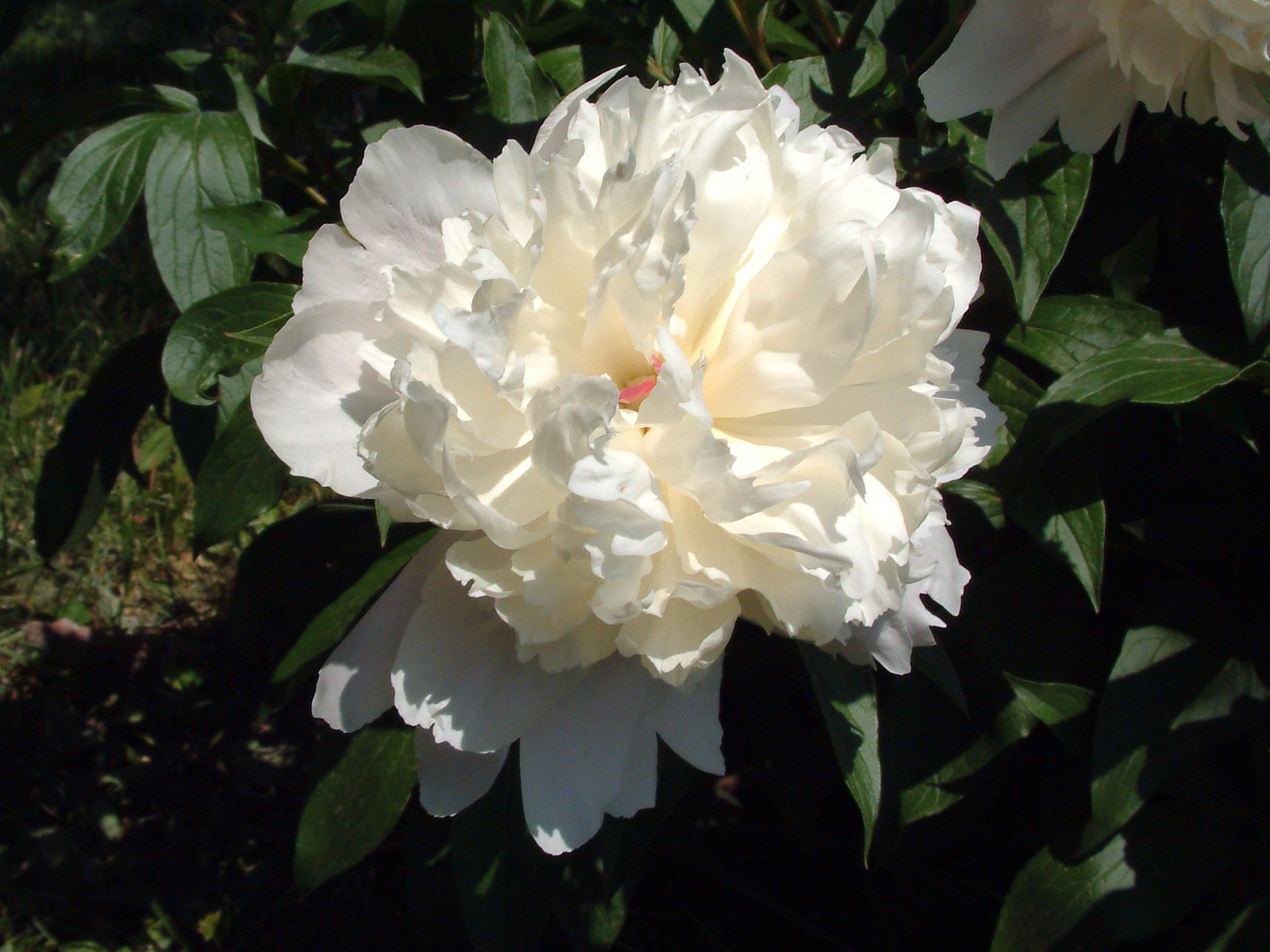 File:White peony.png - Wikipedia, the free encyclopedia: en.wikipedia.org/wiki/File:White_peony.png