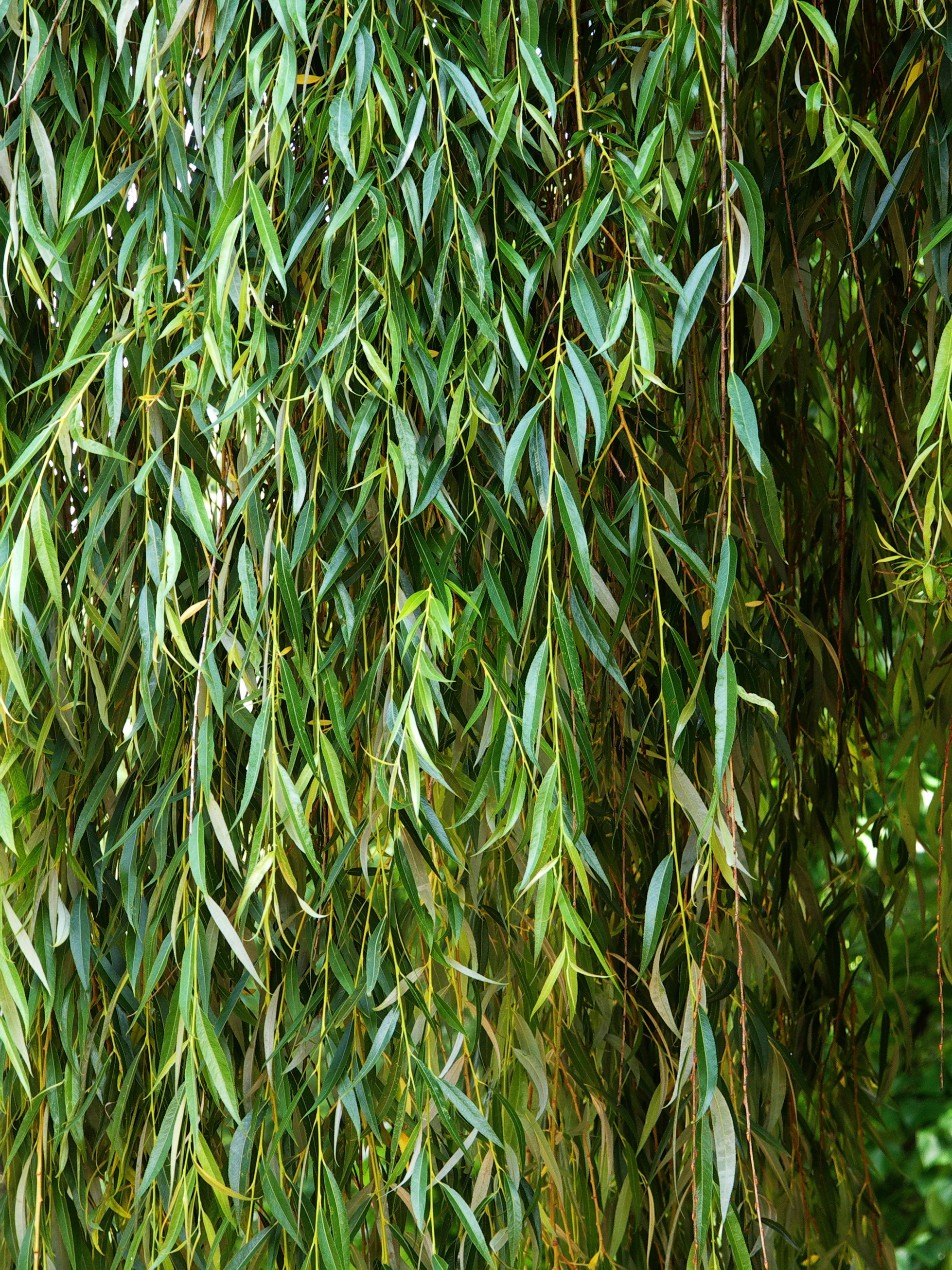 Willow_Salix_babylonica.jpg