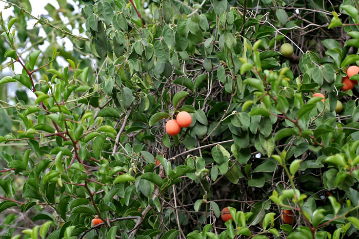 Description Ximenia americana leaves  amp  fruit at Chilkur near Hyderabad    Ximenia Americana