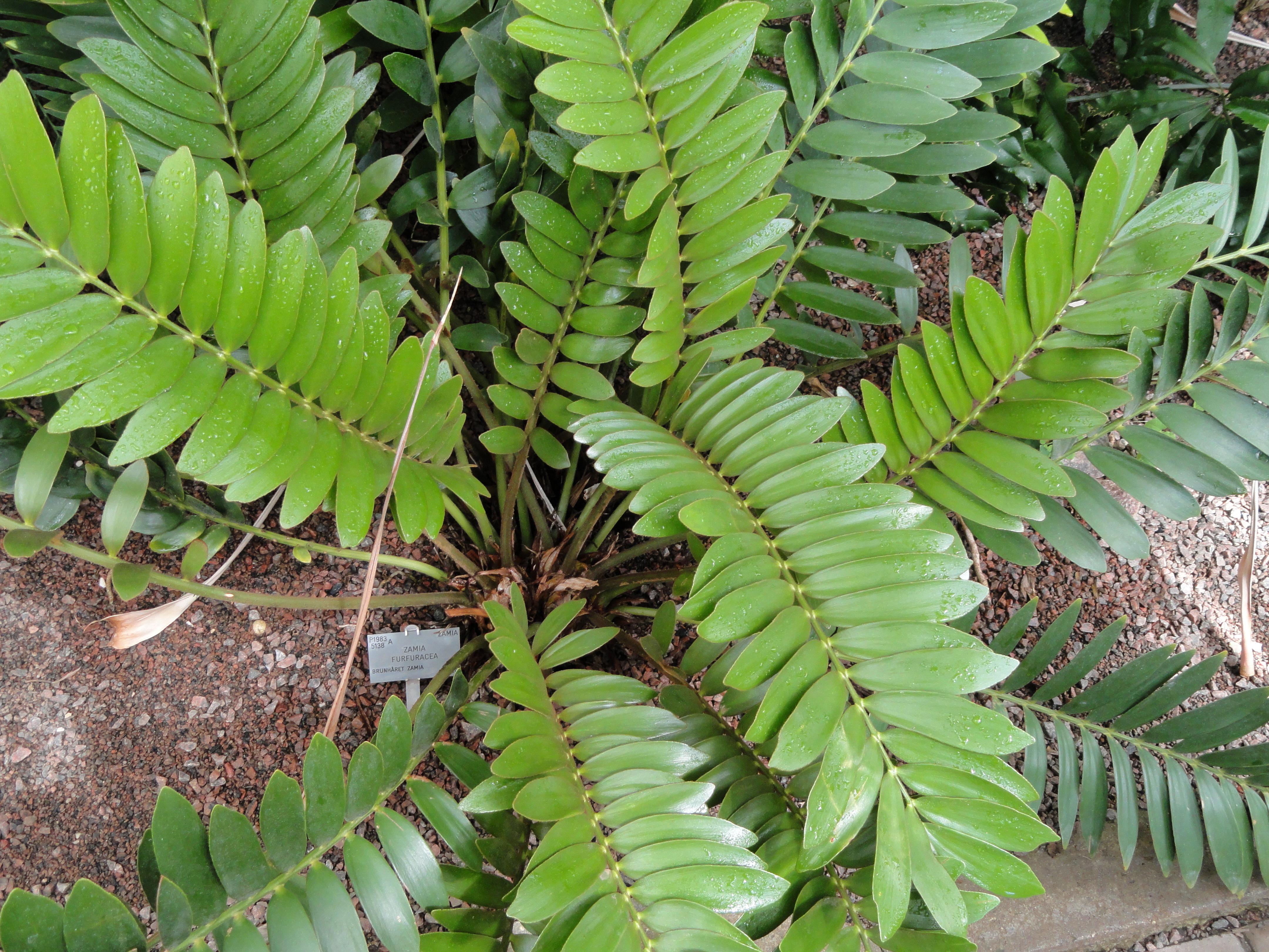 File zamia furfuracea copenhagen botanical garden for Planta ornamental zamia