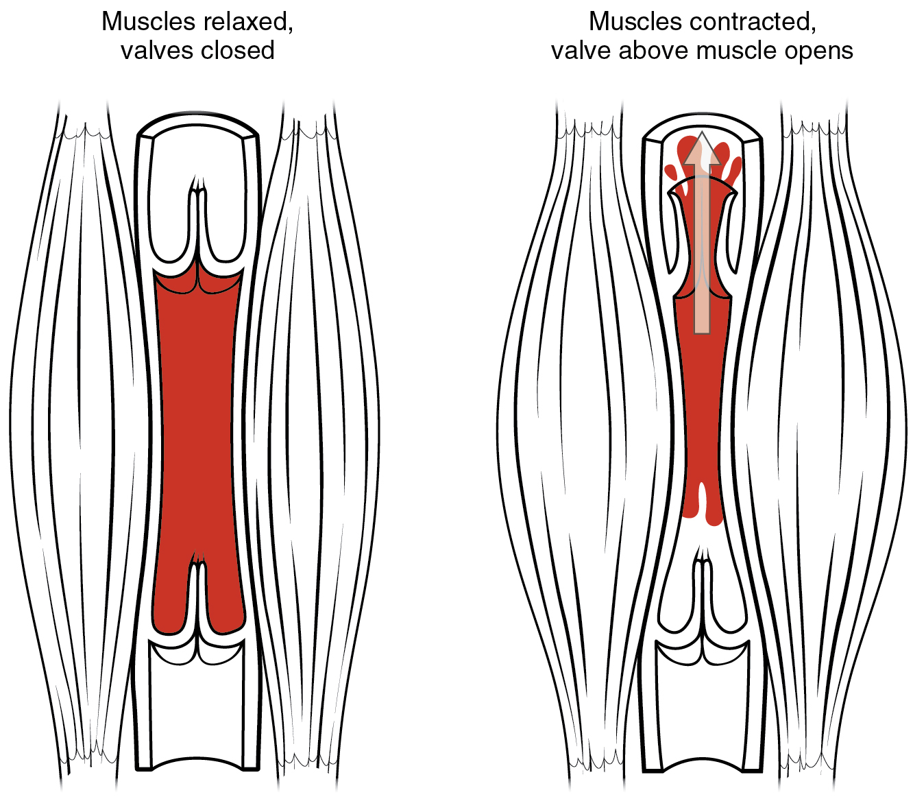 File2114 Skeletal Muscle Vein Pumpg Wikimedia Commons