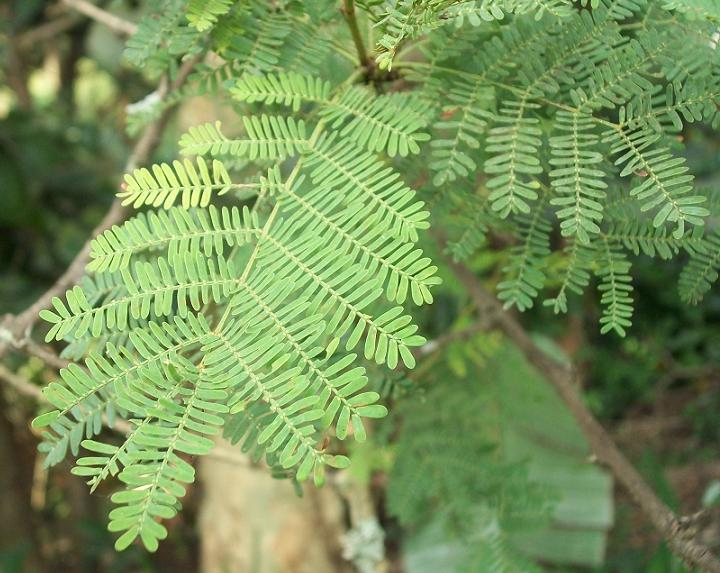 Fileacacia Xanthophloea Leavesjpg Wikimedia Commons