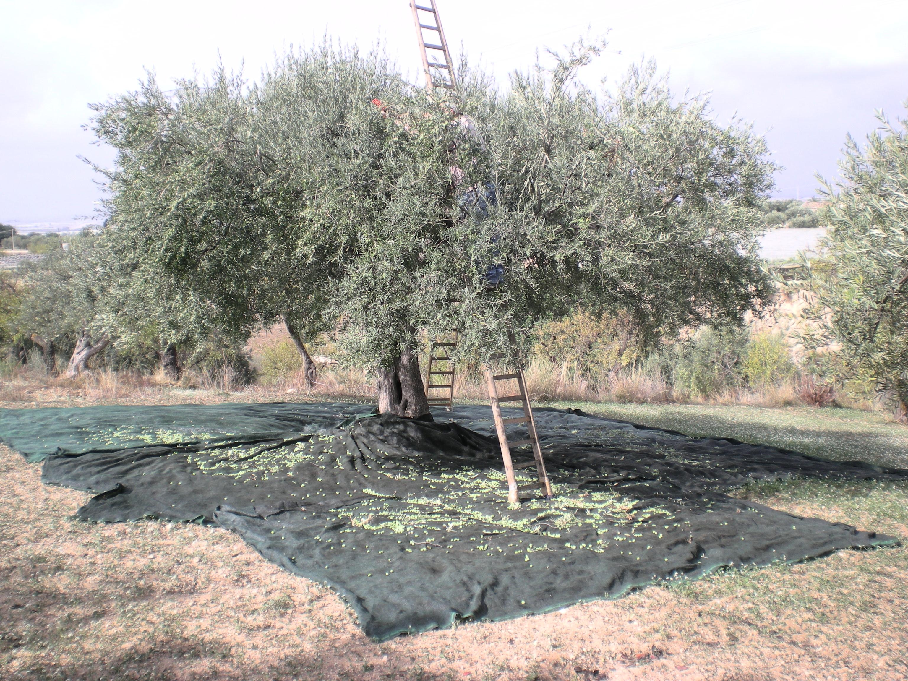 File albero d 39 ulivo jpg wikimedia commons for Albero ulivo vettoriale