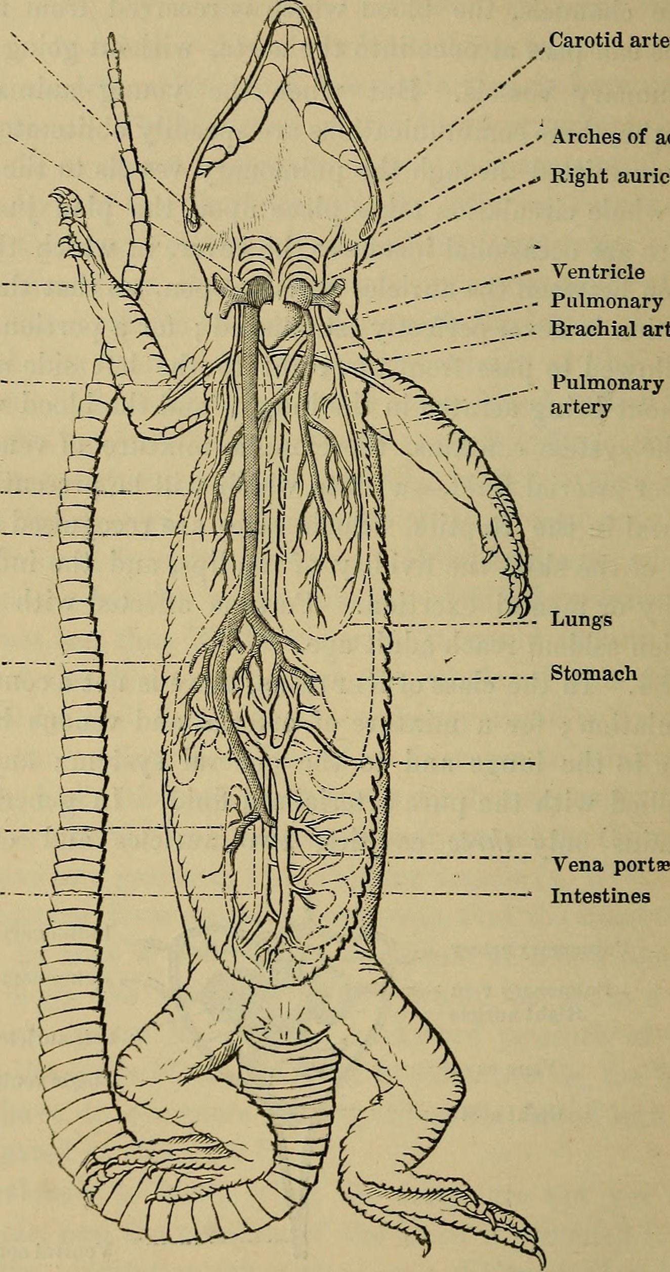 File:Animal physiology (1843) (18195169372).jpg - Wikimedia Commons