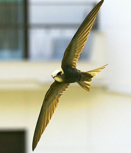 Ptice  Apus_pallidus_-Greece-8