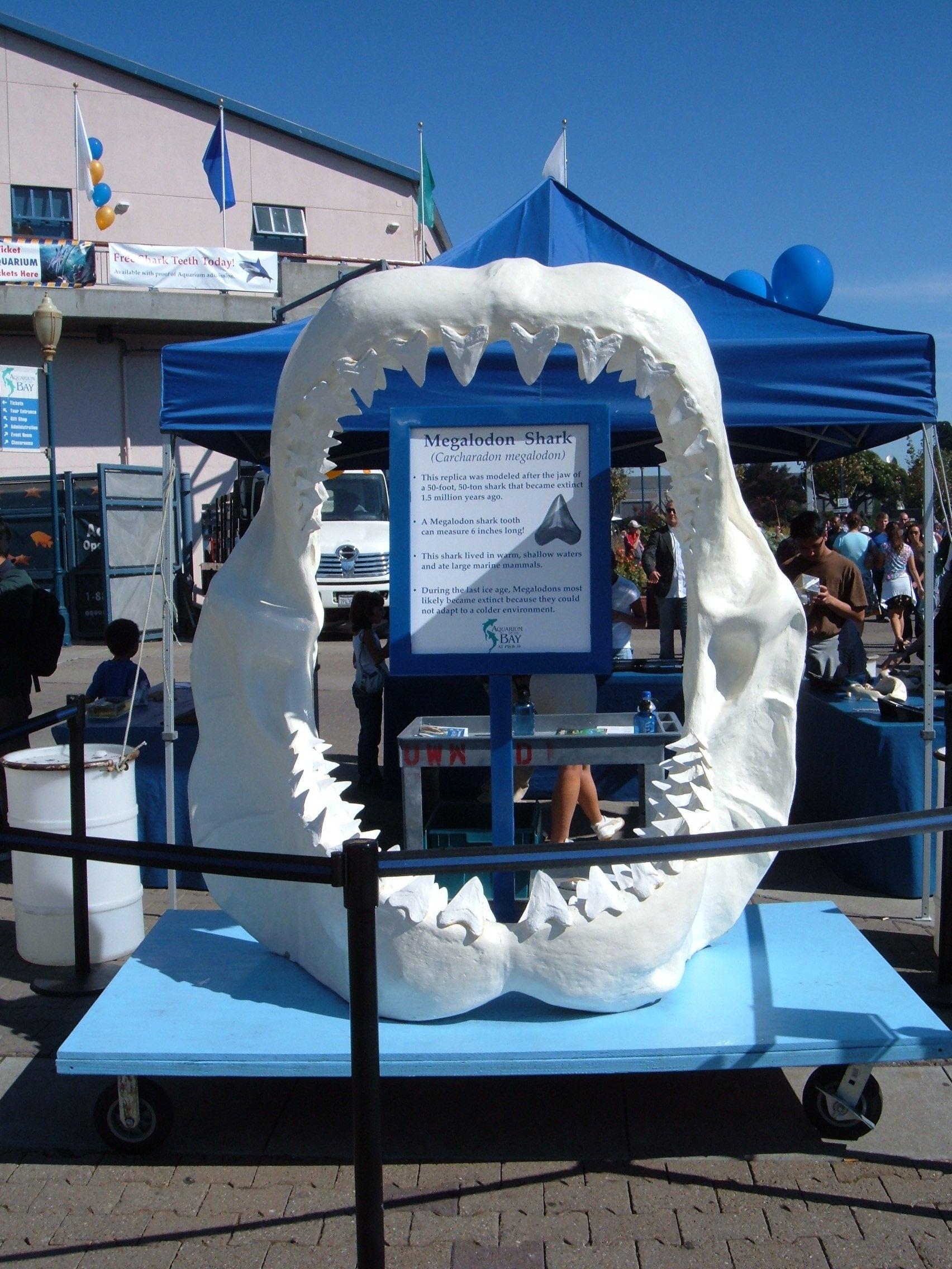 File Aquarium Of The Bay Replica Megalodon Jaw Jpg