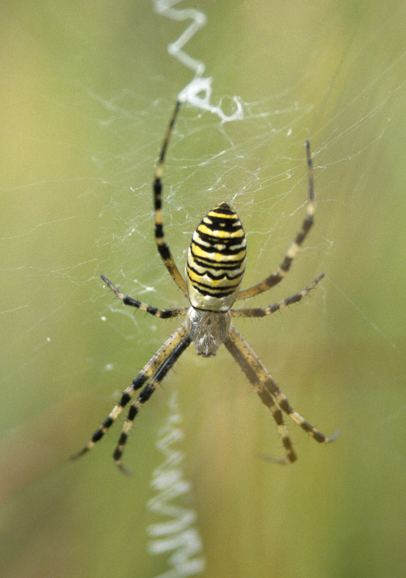 Black And Yellow Garden Spider Poisonous Short Hairstyle 2013