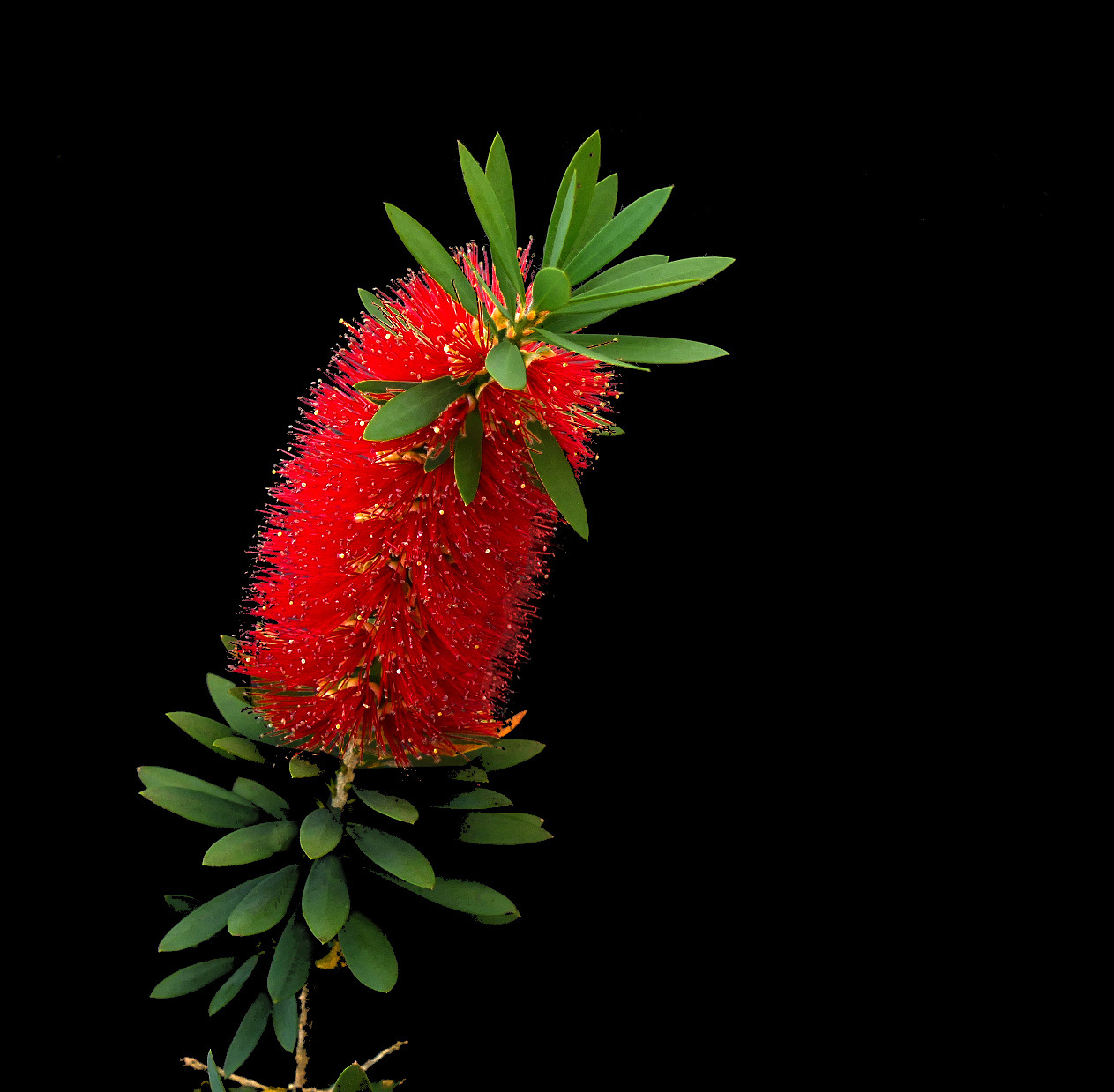 bottlebrush or little john -- dwarf callistemon.jpg