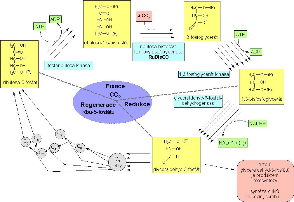 cyklus dansk date