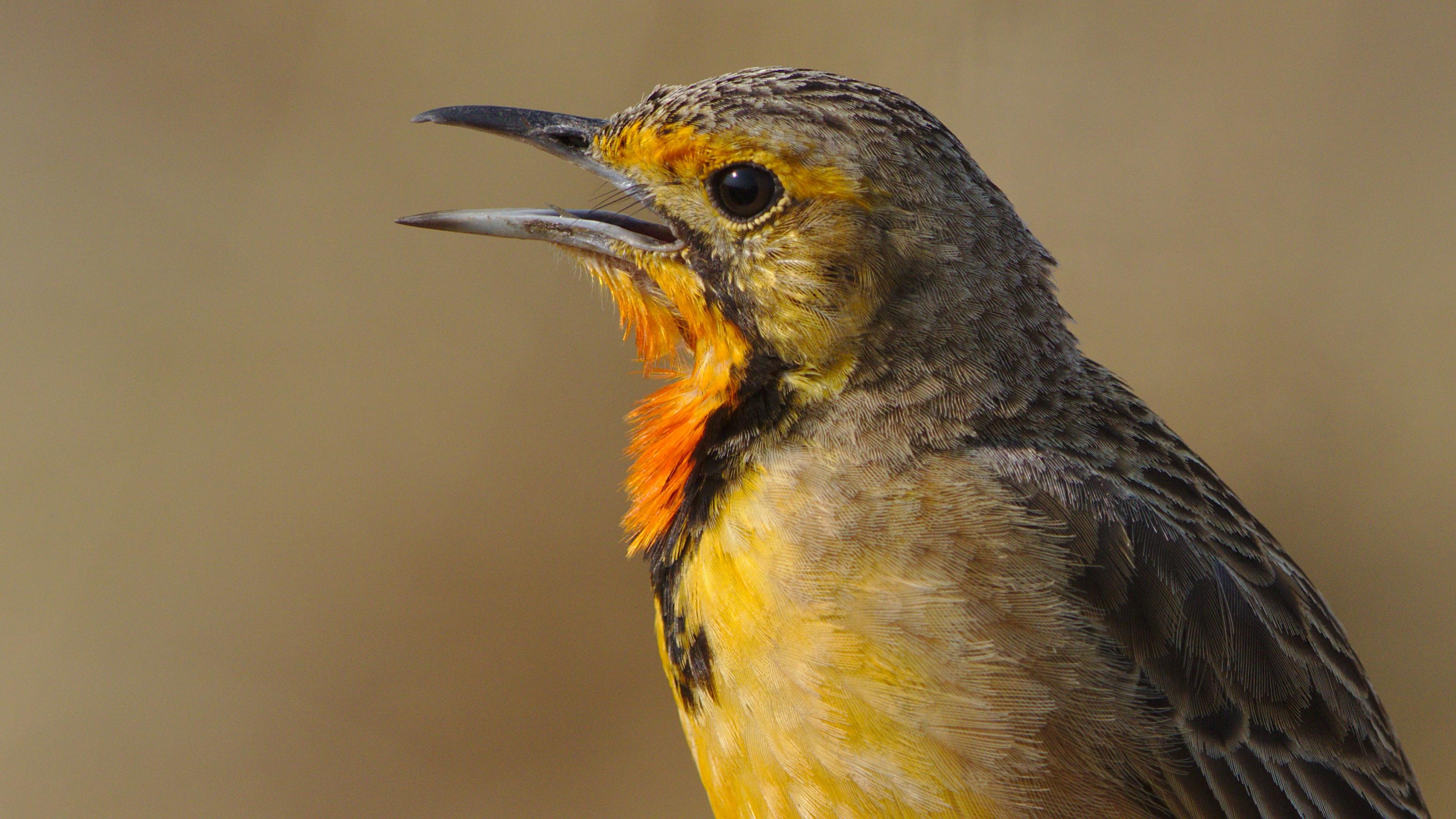 File:Cape Longclaw or Orange-throated Longclaw, Macronyx capensis at  Ezemvelo Nature Reserve