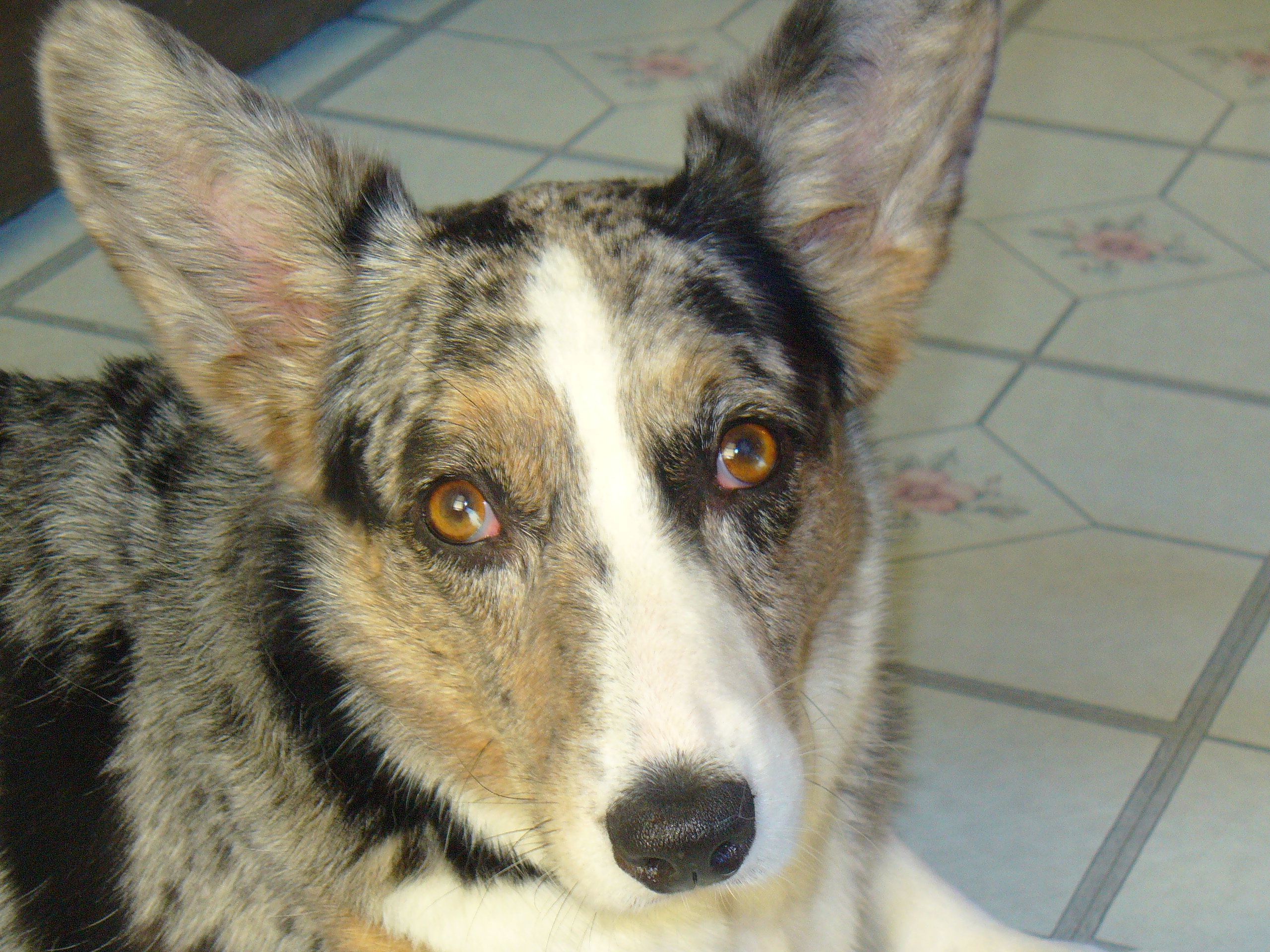 Cardigan Welsh Corgi Face