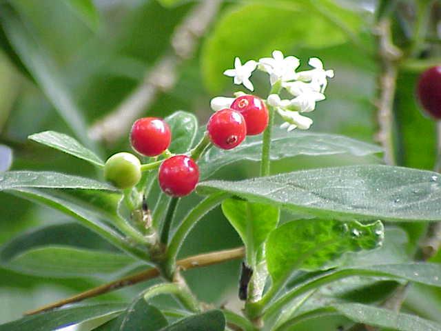 Cephaelis acuminata3