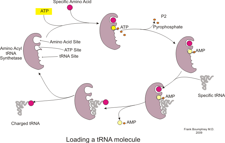 Summarize the synthesis of mrna