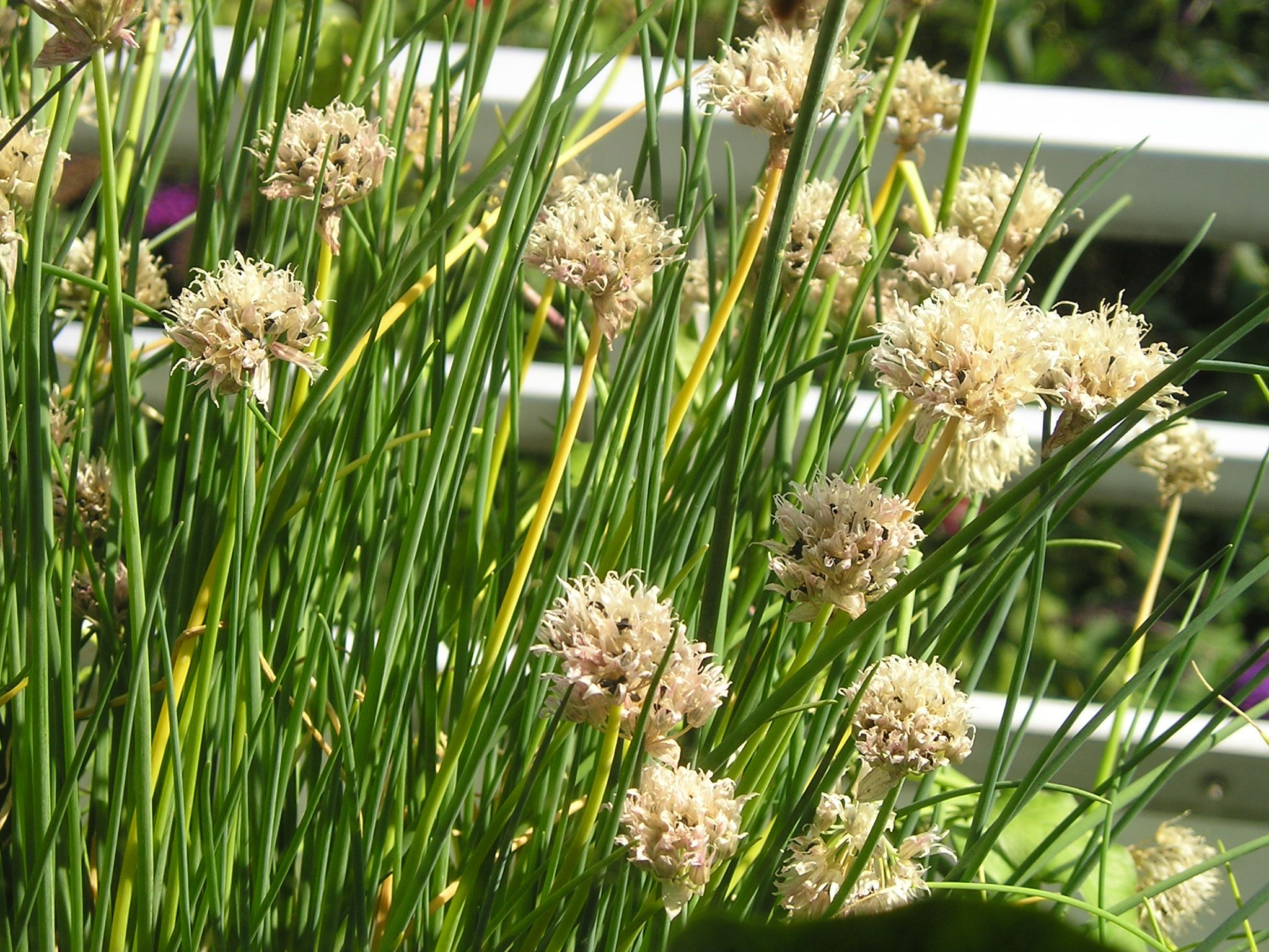 how to grow scallions from seeds