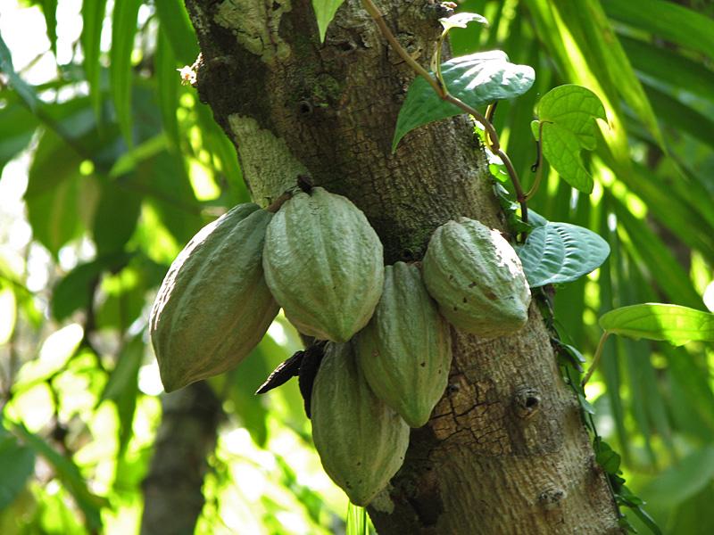 Wikipedia Kakao