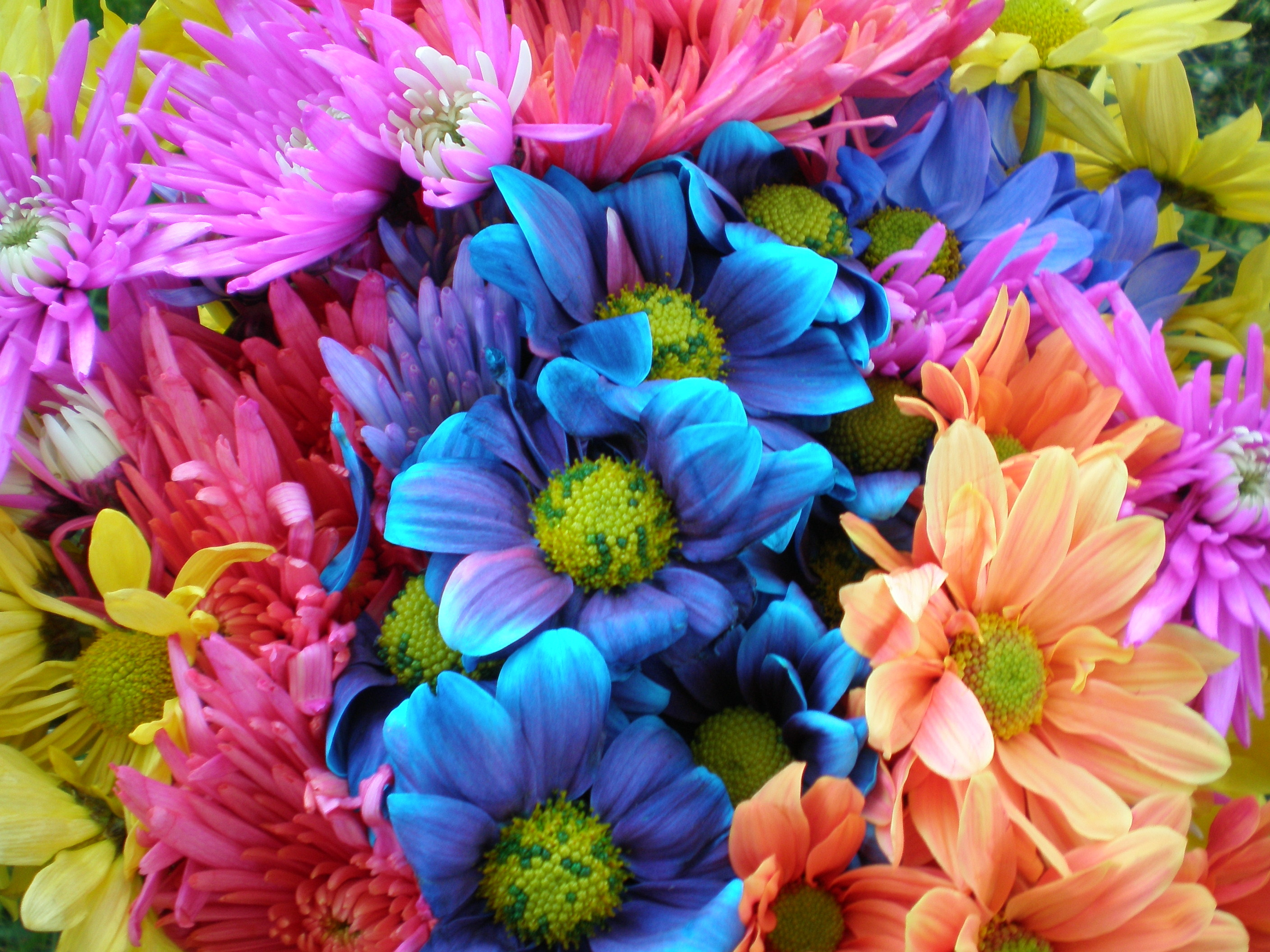 Filecolorful Crazy Daisies 1 2530872878g Wikimedia Commons