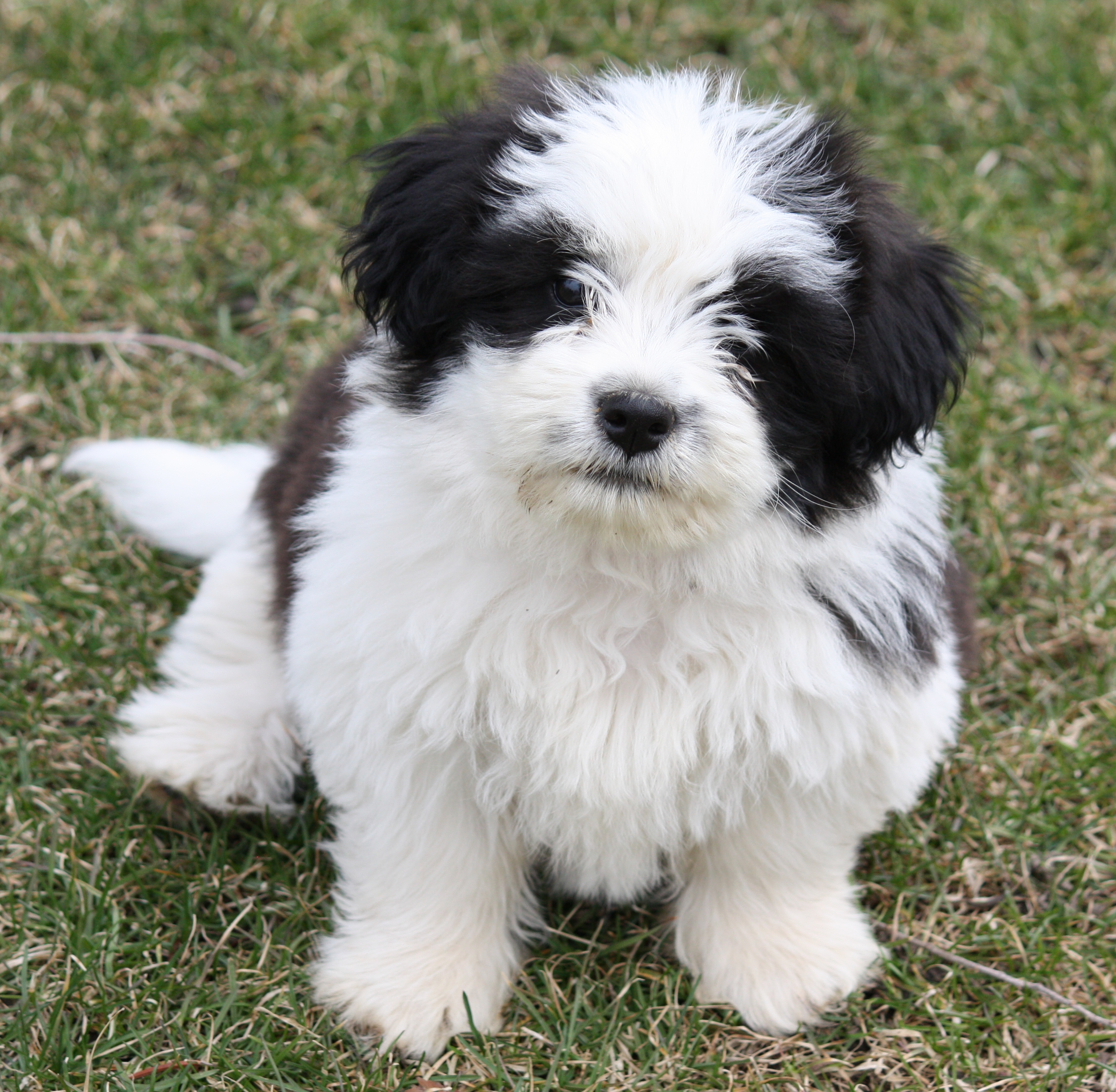 Description Corgi Shih tzu Hybrid 10weeks.jpg