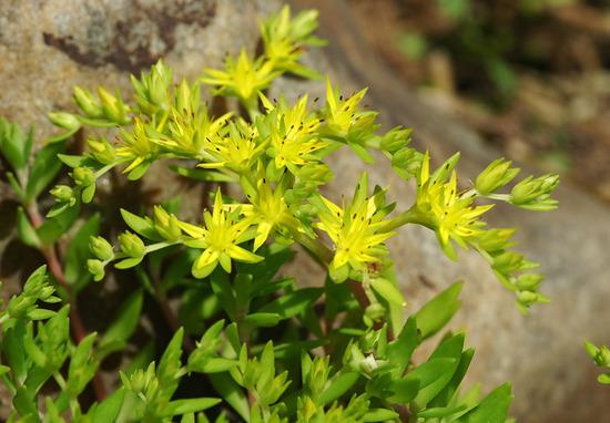 File:Dolnamul (stringy stonecrop) (Sedum sarmentosum) flower.jpg