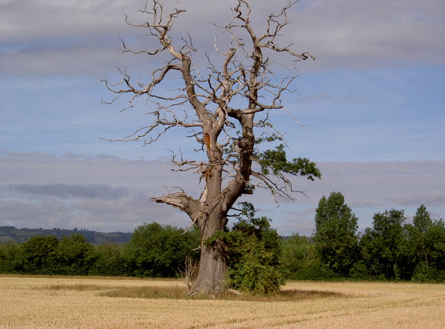 Dying Oak Tree - geograph.org.uk - 336267