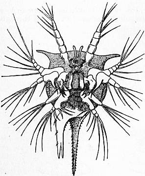 EB1911 Crustacea Fig. 15.—Nauplius of Tetraclita porosa.jpg