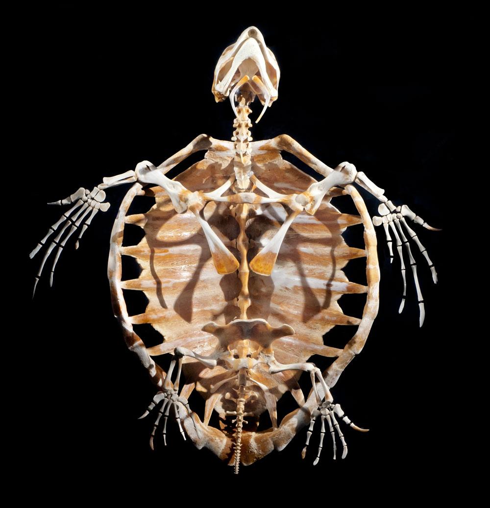 Archivo:Esqueleto-tortuga-boba.01.jpg - Wikipedia, la enciclopedia libre