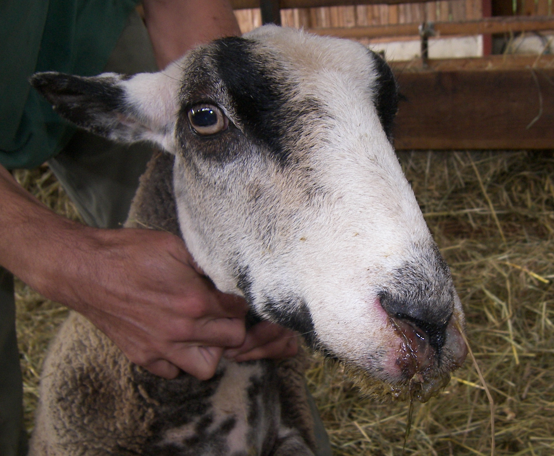 Ovce trpící katarální horečkou