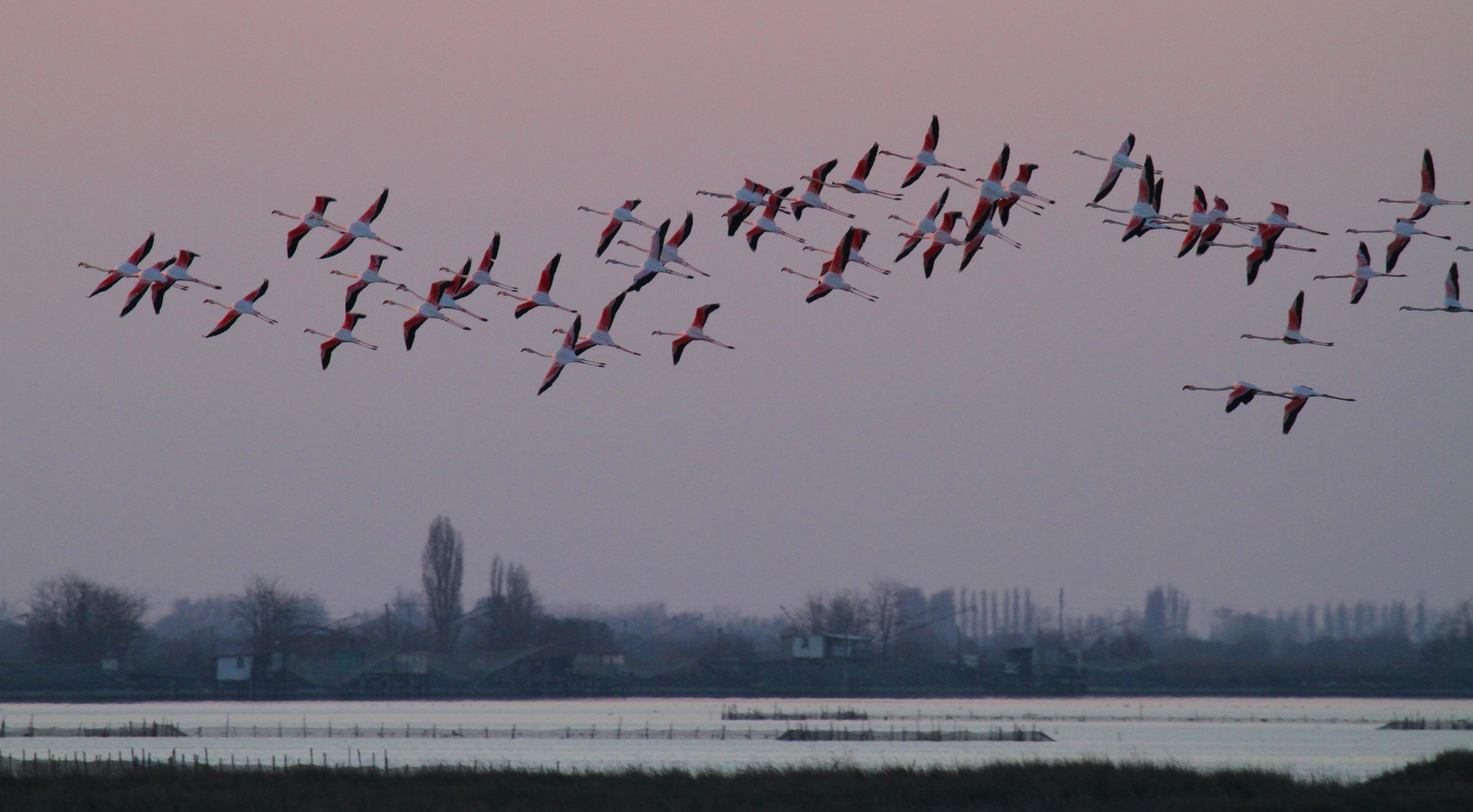 File:Fenicotteri rosa, ultimi voli serali - panoramio.jpg