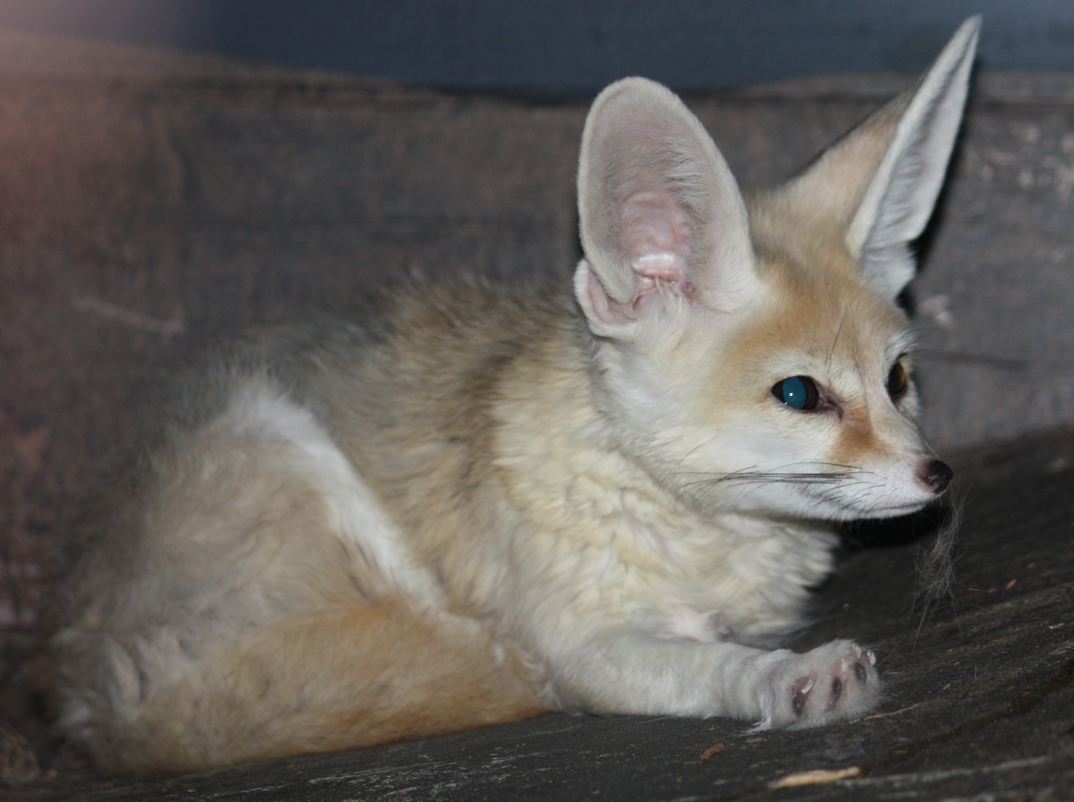 Printable Pictures Of Fennec Foxes