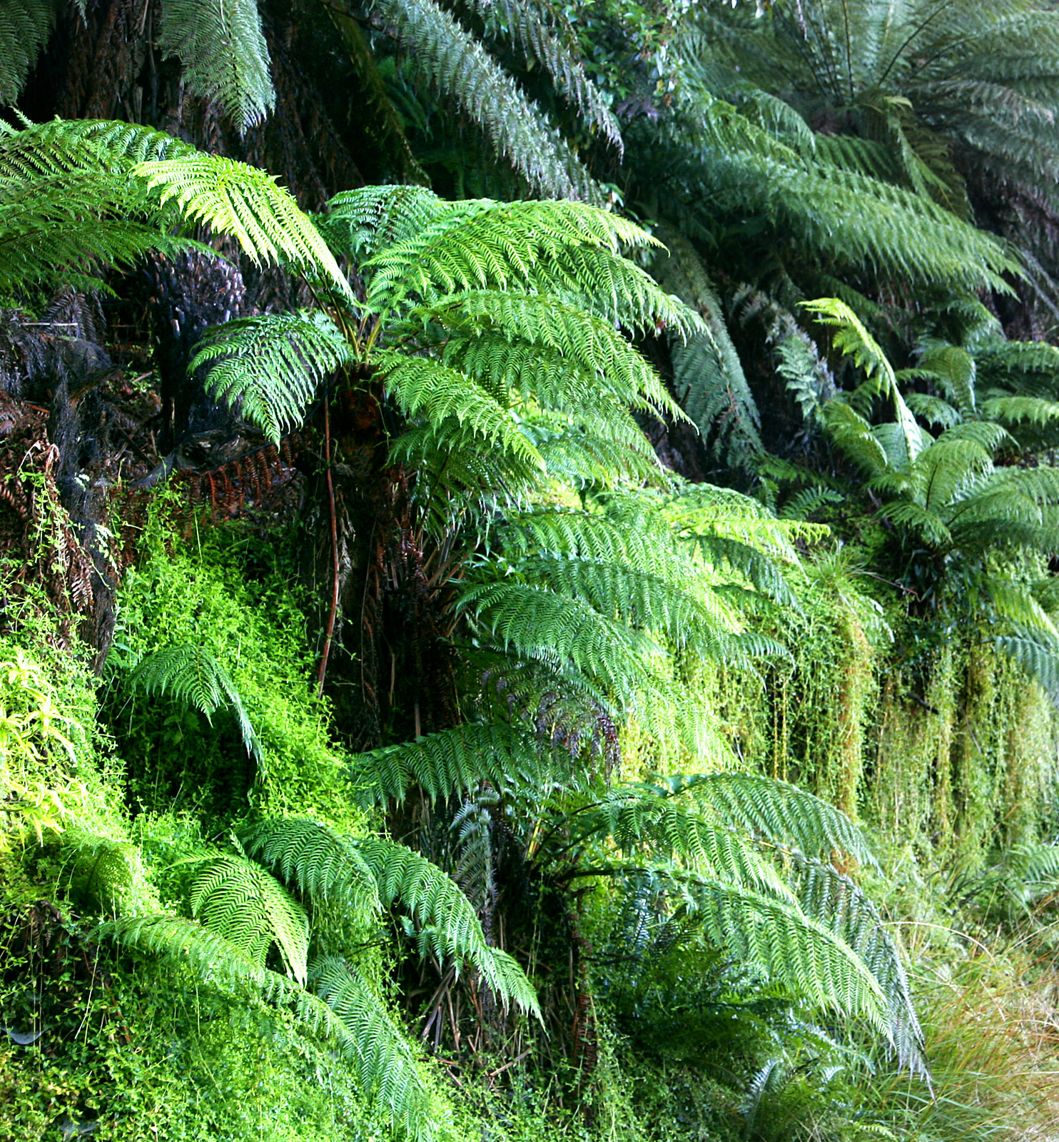 Dicksonia antarctica, a species of tree fern