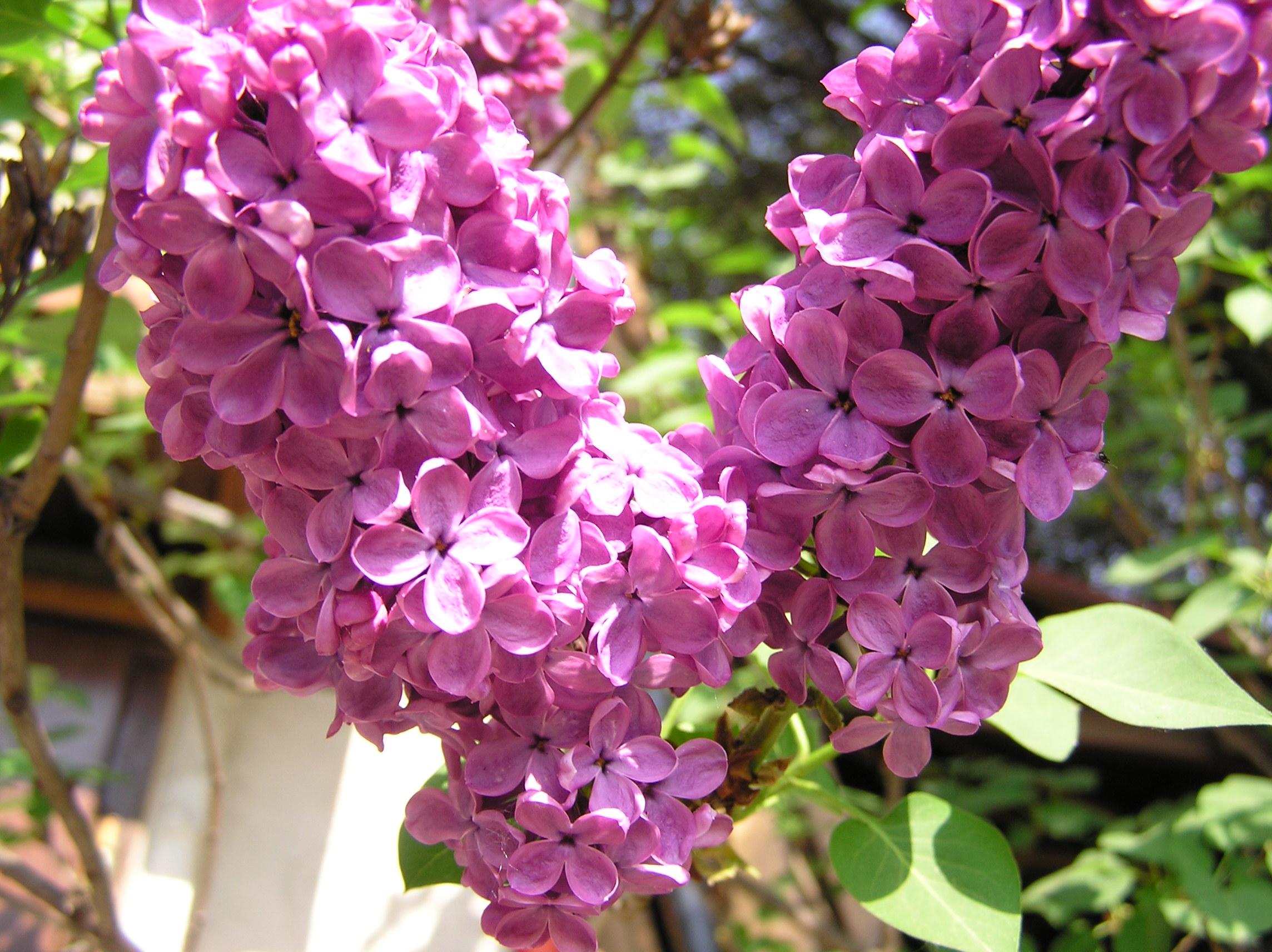 Description fleurs de lilas