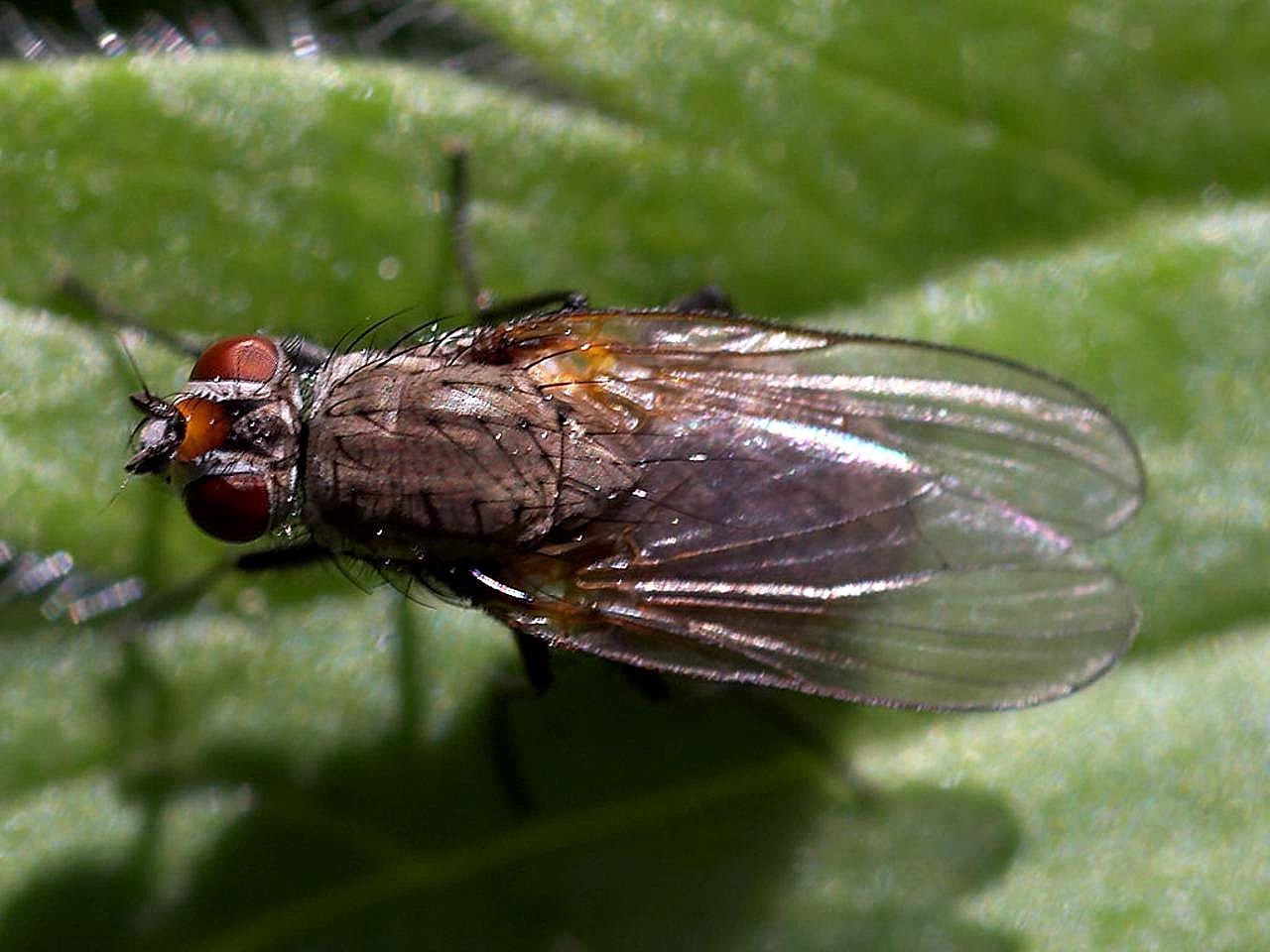 File:Flies fly wings bugs insects.jpg - Wikimedia Commons