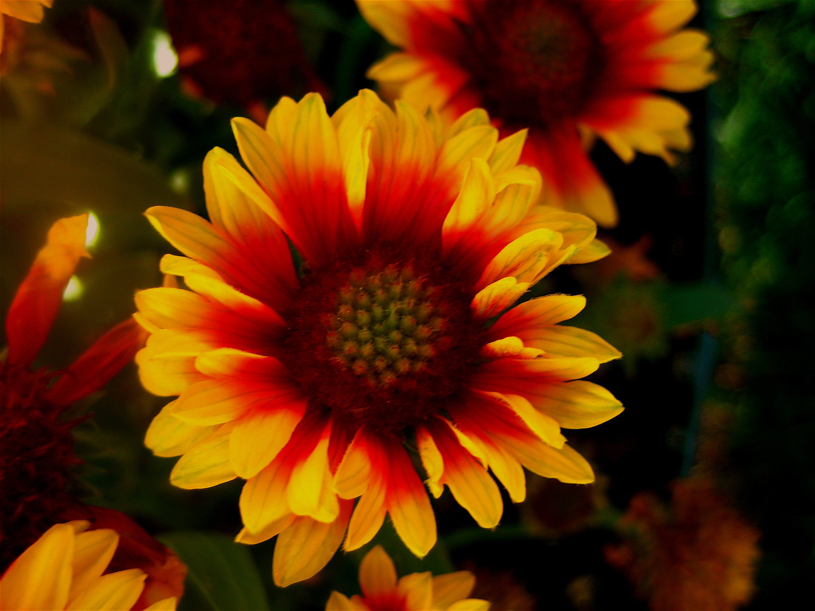 Description gaillardia aristata blanketflower or firewheel 2