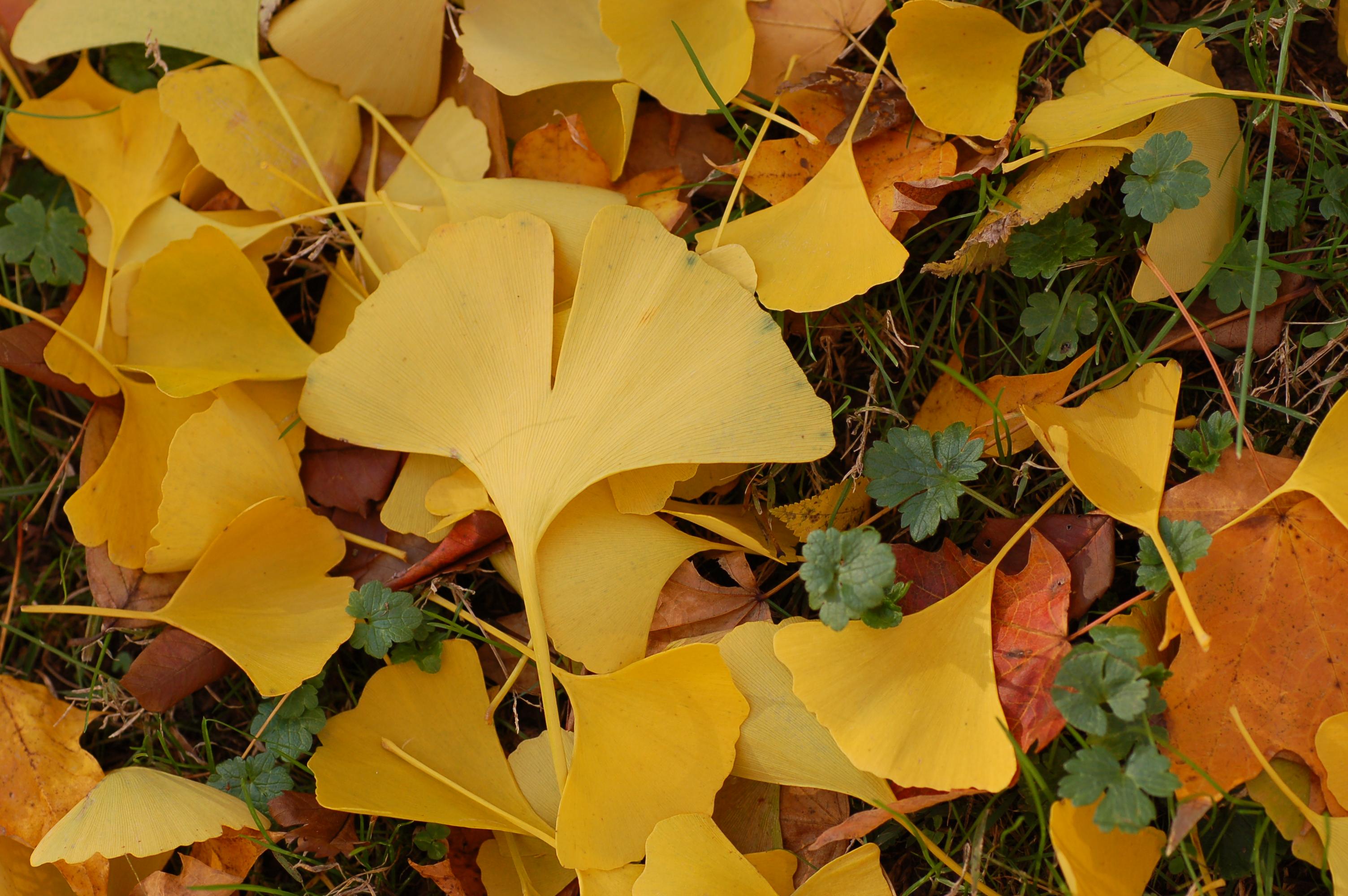 FileGinkgo Tree Ginkgo Biloba Fallen Leaves 3008px