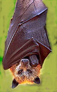 Golden crowned fruit bat (Acerodon jubatus)