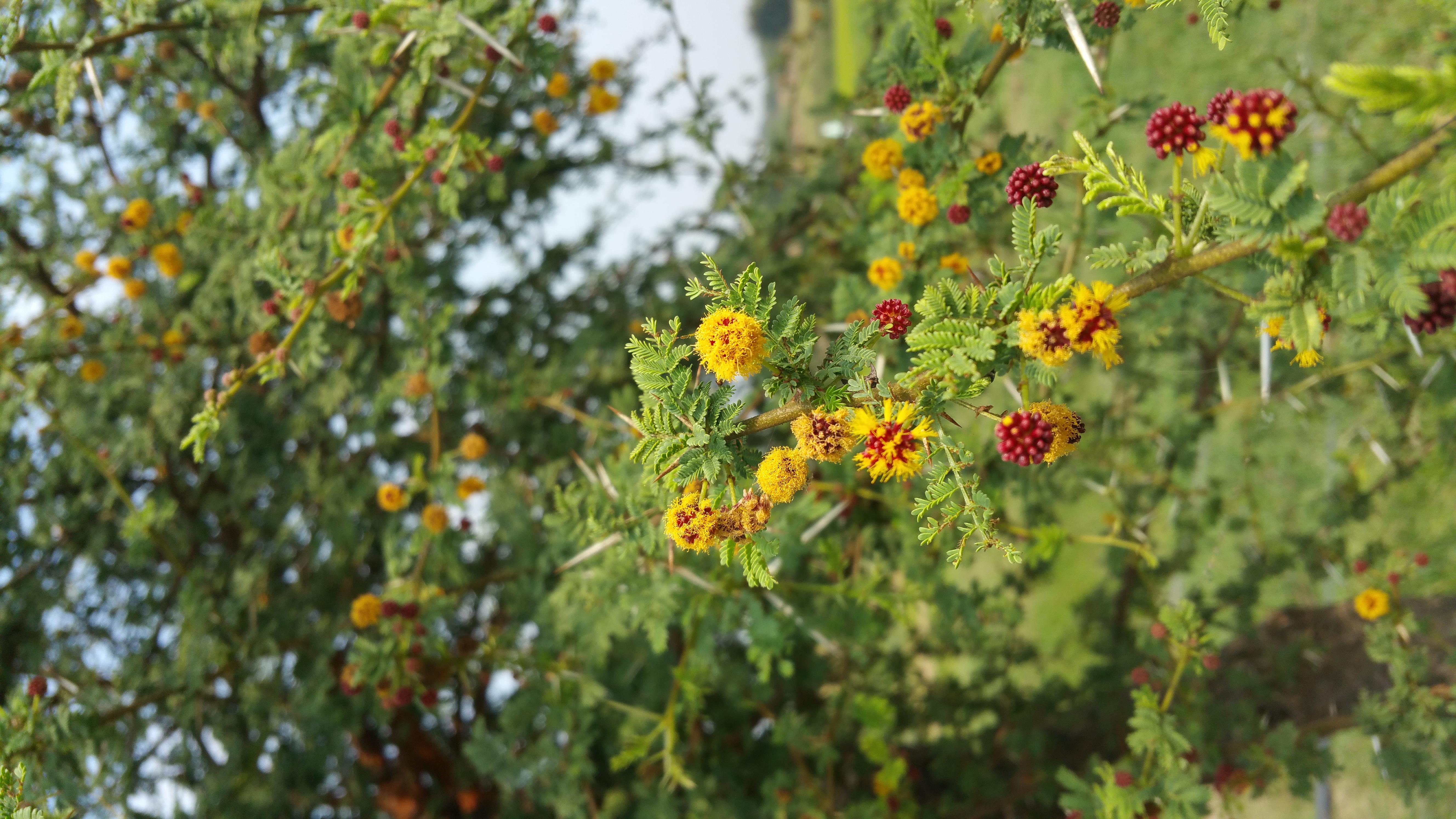 Filegreen Tree Yellow Flowersg Wikimedia Commons